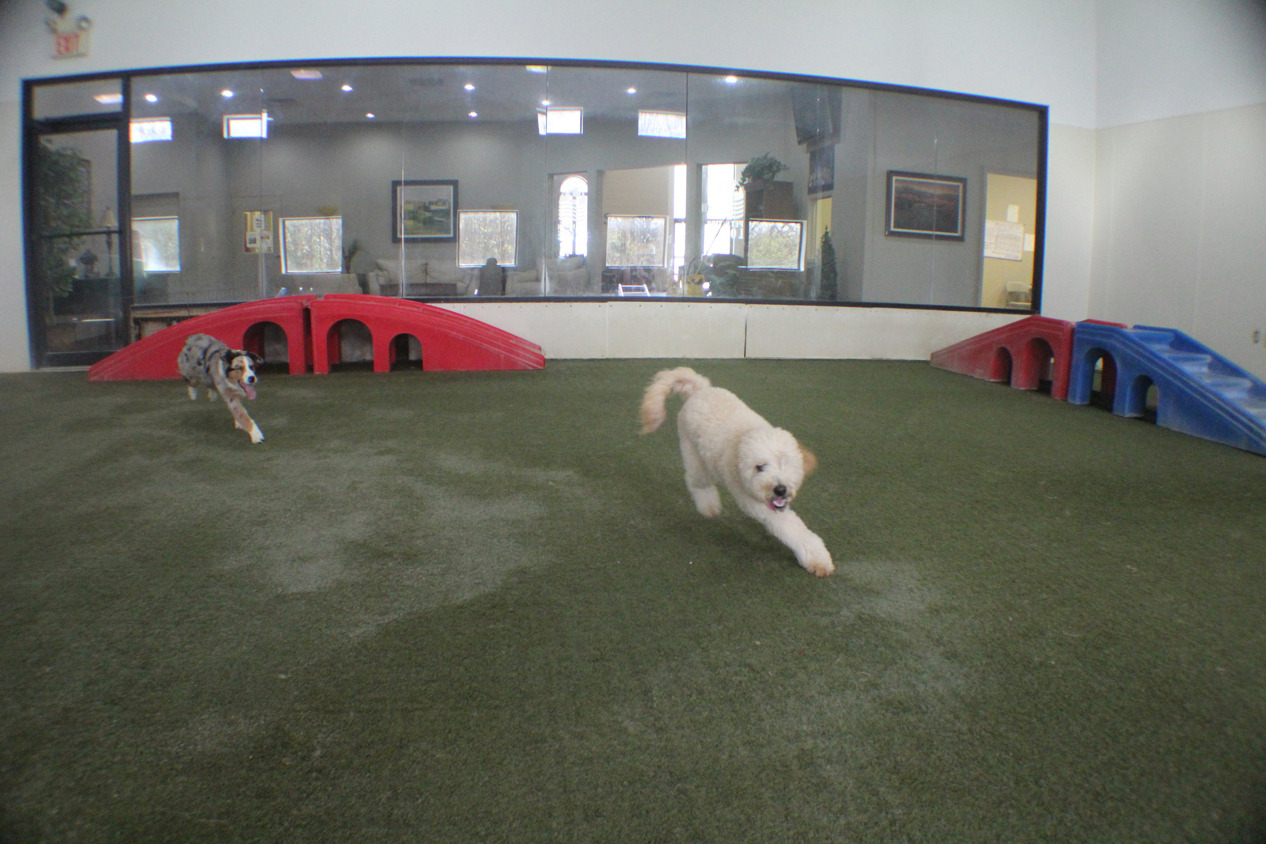 Whether indoors or outdoors Ziggy is always on the run.  Making friends has always come easy to Ziggs.  He is the equivalent to the popular kid in school.  His happiness and energy make him a perfect playmate with any dog that's boarding or just here for daycare.  He's also popular among staff here.  So overall everyone is of good old Ziggs!