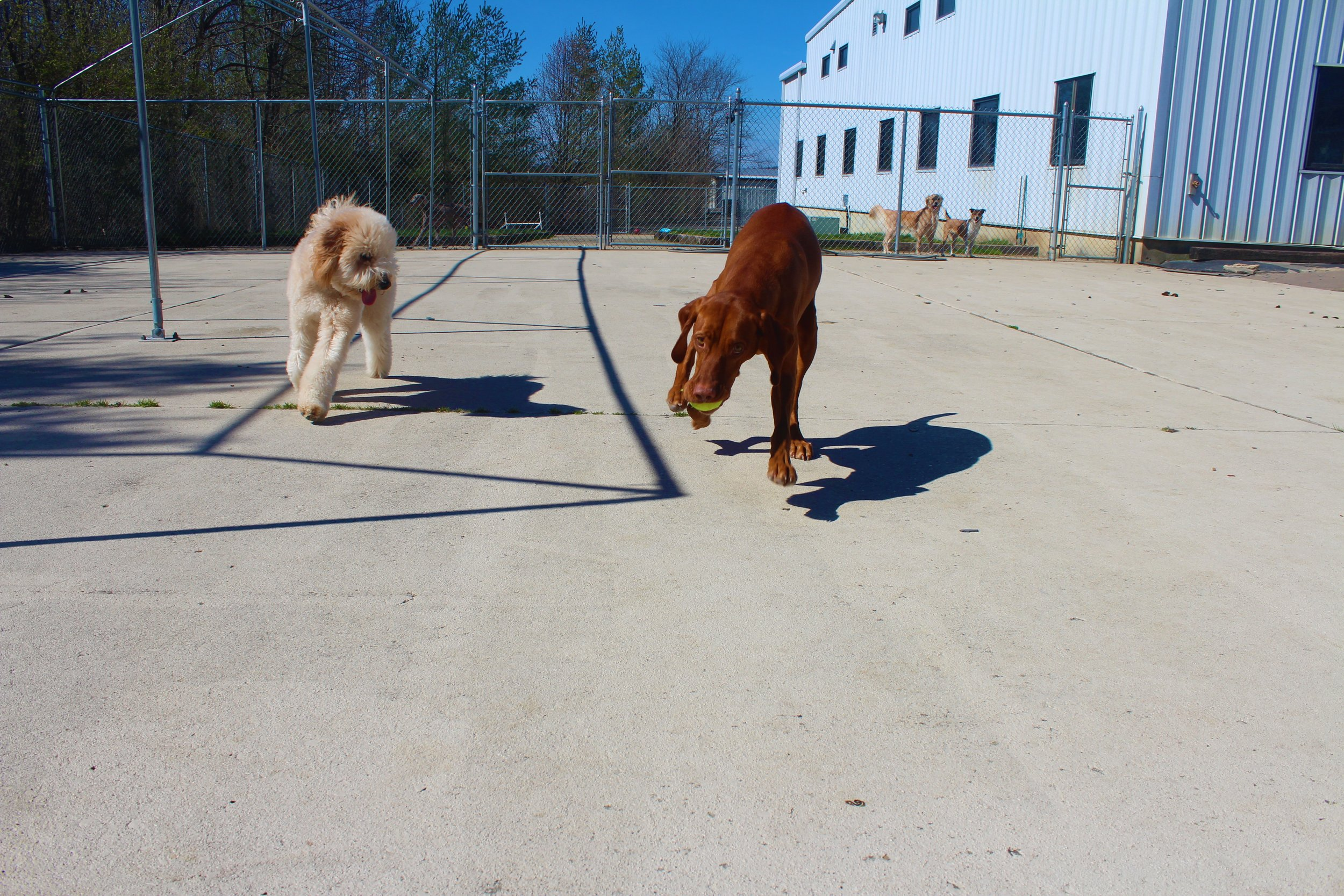 Here's a picture of Ziggy playing fetch with his dog pal Kash.  Even though Kash is quicker and will usually get the ball before Ziggy, Zigs never gives up.  There's always the next time the ball is thrown.  Like an eternal optimist Ziggy always tries his best.