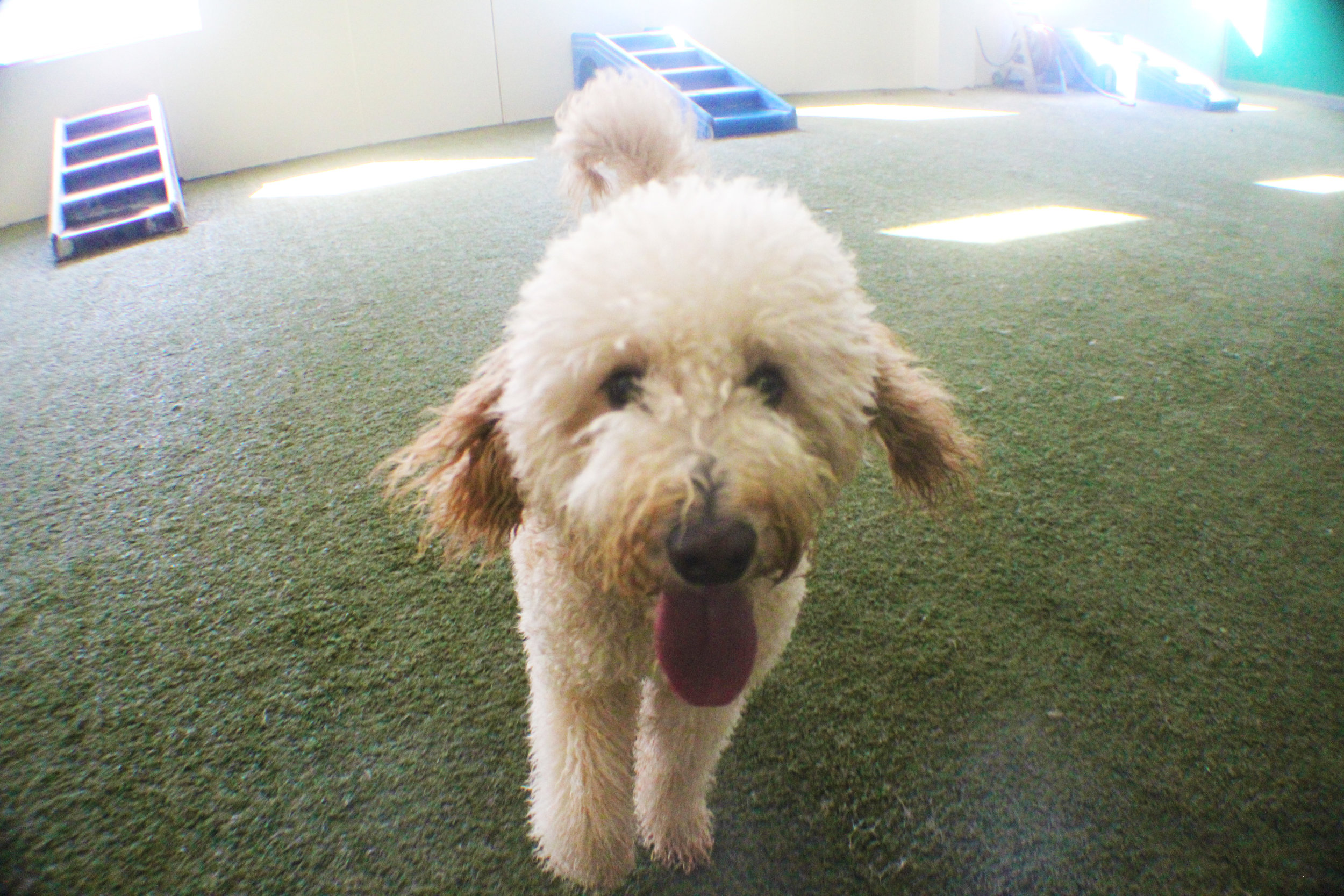 I don't think I have a picture of Ziggy without his tongue out.  It's kind of his trademark.  Although there are plenty of dogs who have their tongue out, Ziggy takes it to a whole new level.  When he's at Pet Nation Lodge for Daycare his tongue will sometimes get in his way.  Like a flag in the wind you can tell which direction Ziggy is running in simply by looking at which direction his tongue is angled at.