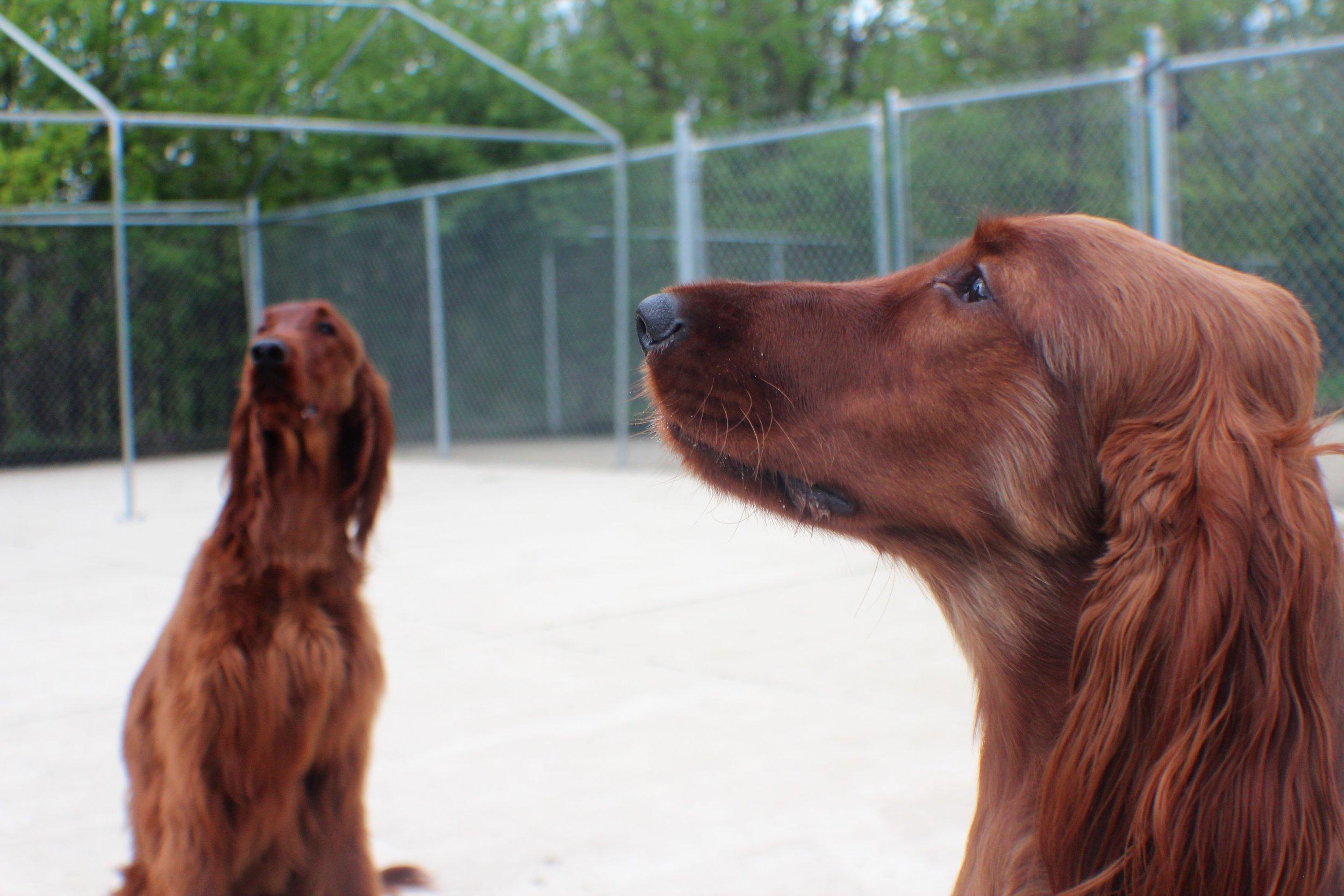 Pet Nation Lodge Boarding Dogs Kiley & Riley 9