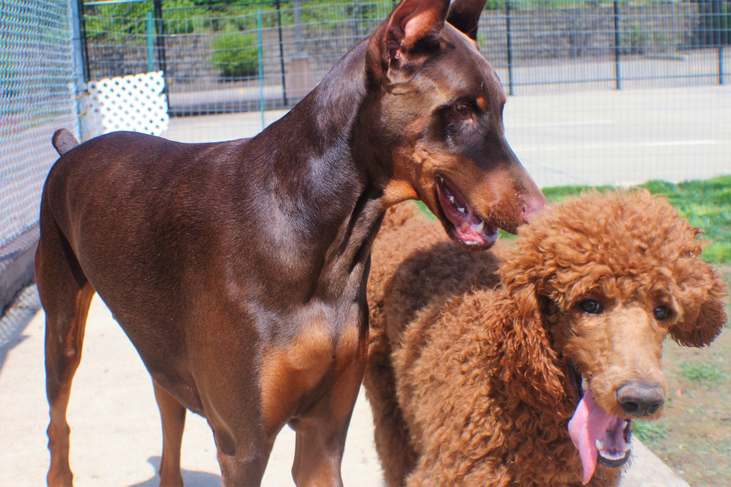 Archer & Wrigley a dog love story that has stood the test of time. Or just a couple of days of boarding. Love knows no bounds!