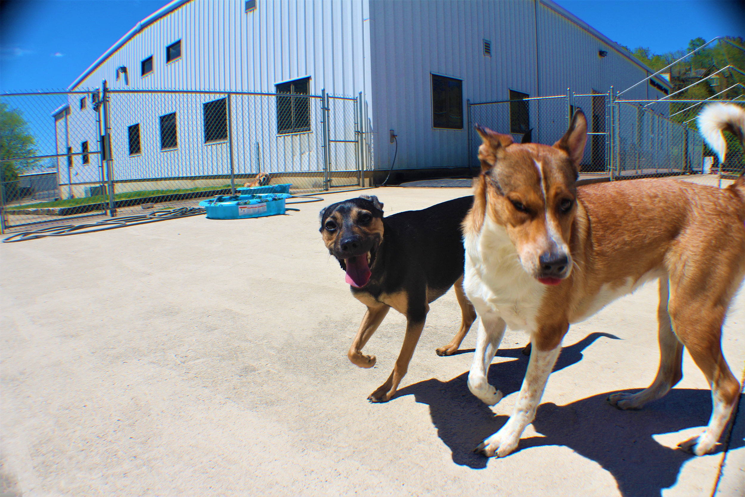 Here's Maple playing with Elwood. They are definitely two peas in a pod. When both of the dogs are here for doggie daycare they will almost always be together. They make a fun couple to say the least. It's almost like a sister brother relationship, both can make the other a little bit annoyed, but at the end of the day there back to being friends.