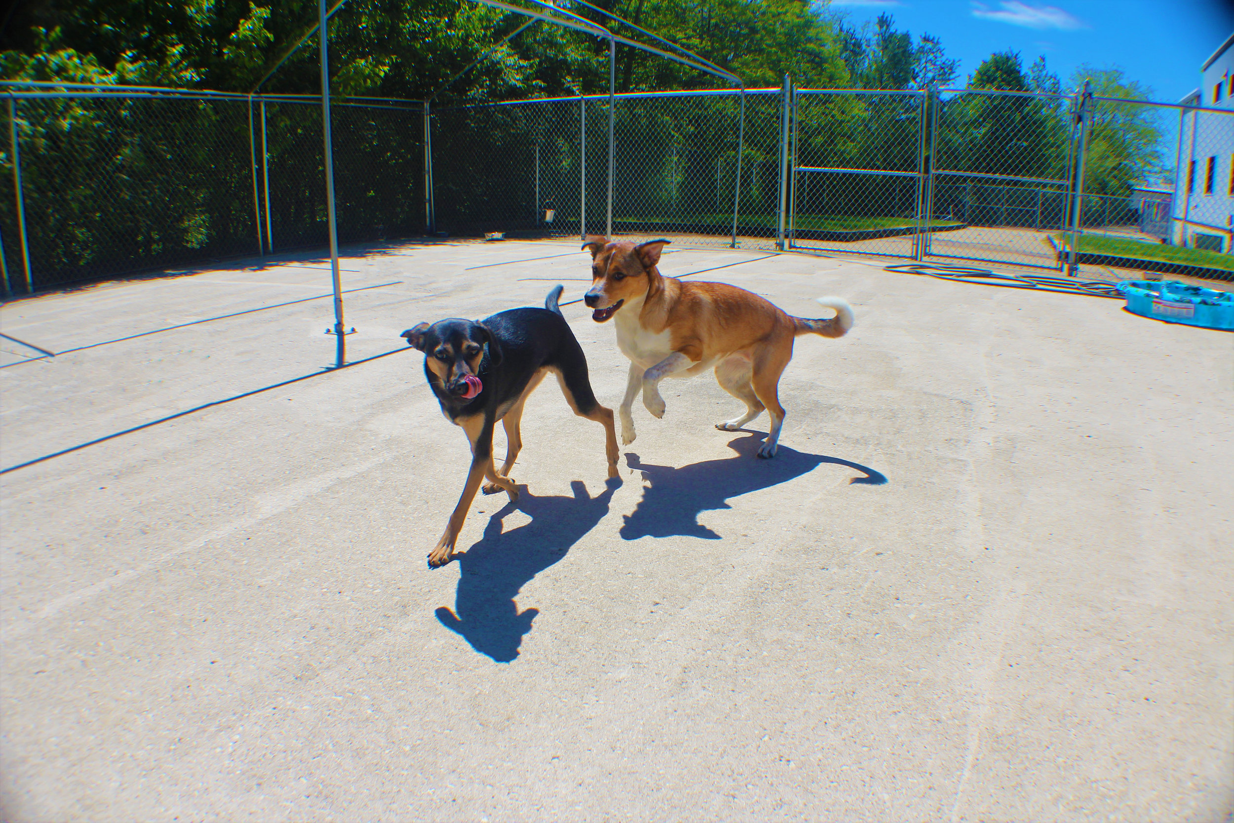 Maple is always on the move, whether it's doing the chasing or being chased she never let's the other dogs take a breath. When Maple is with our daycare dogs or boarding dogs she wears them out completely. She is really a diamond in the rough.