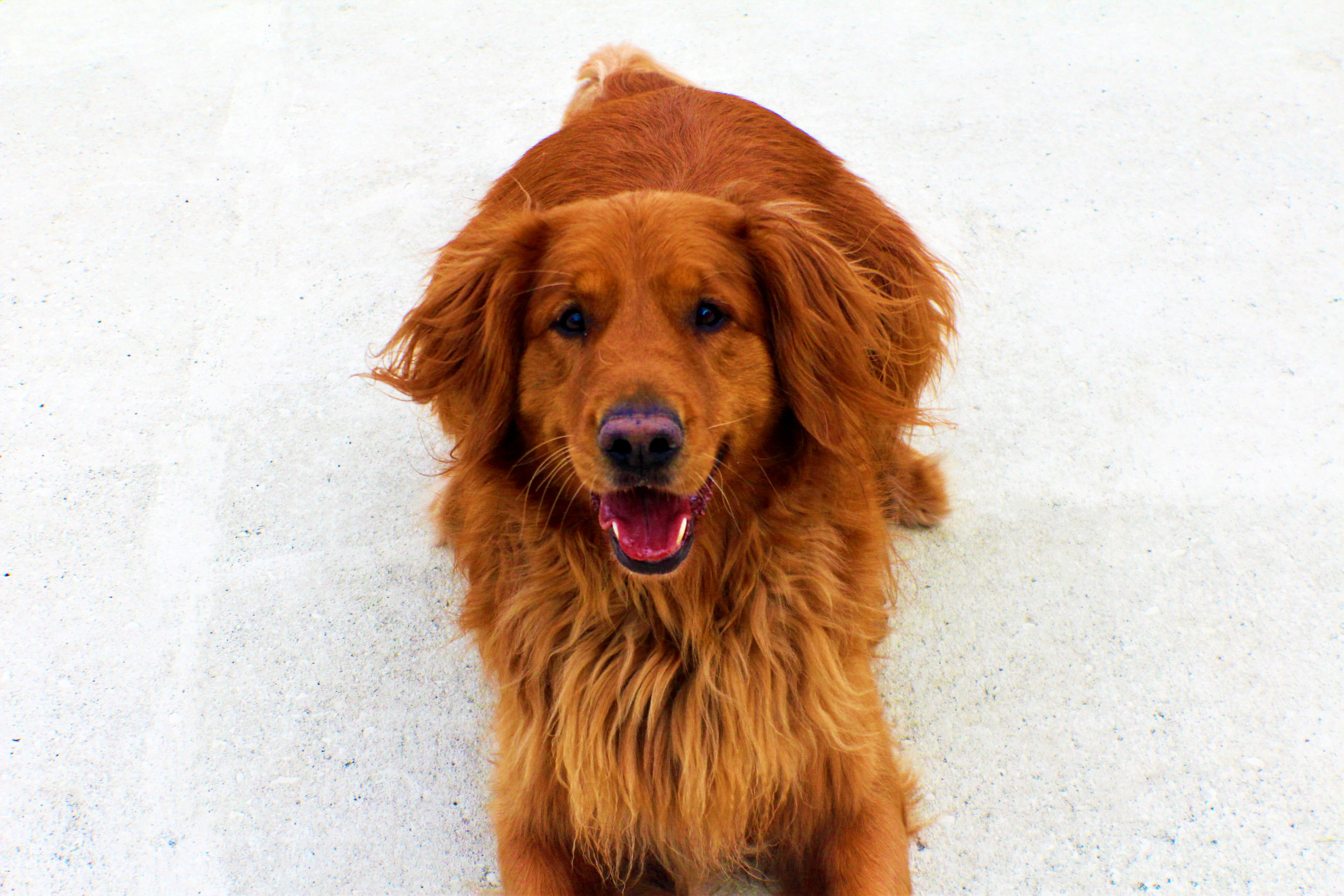 Oh Tucker Lee, he may look like your run of the mill Golden Retrievers but I can assure you he is not. From the moment he steps in the door it's petal to the metal. Playing with Tucker is like a kite trying to make the wind tired. He can best be described as the energizer bunny!