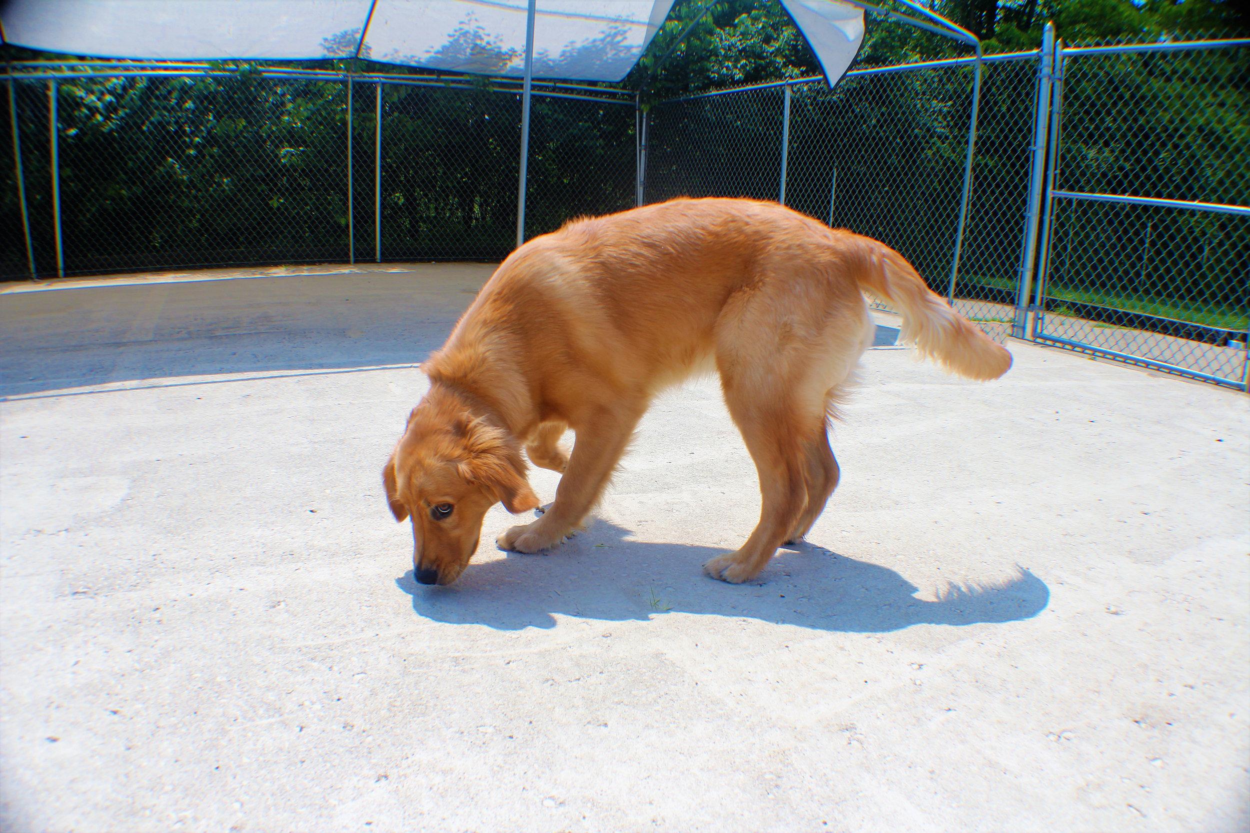 Pet Nation Lodge Daycare Dog Gorden 4
