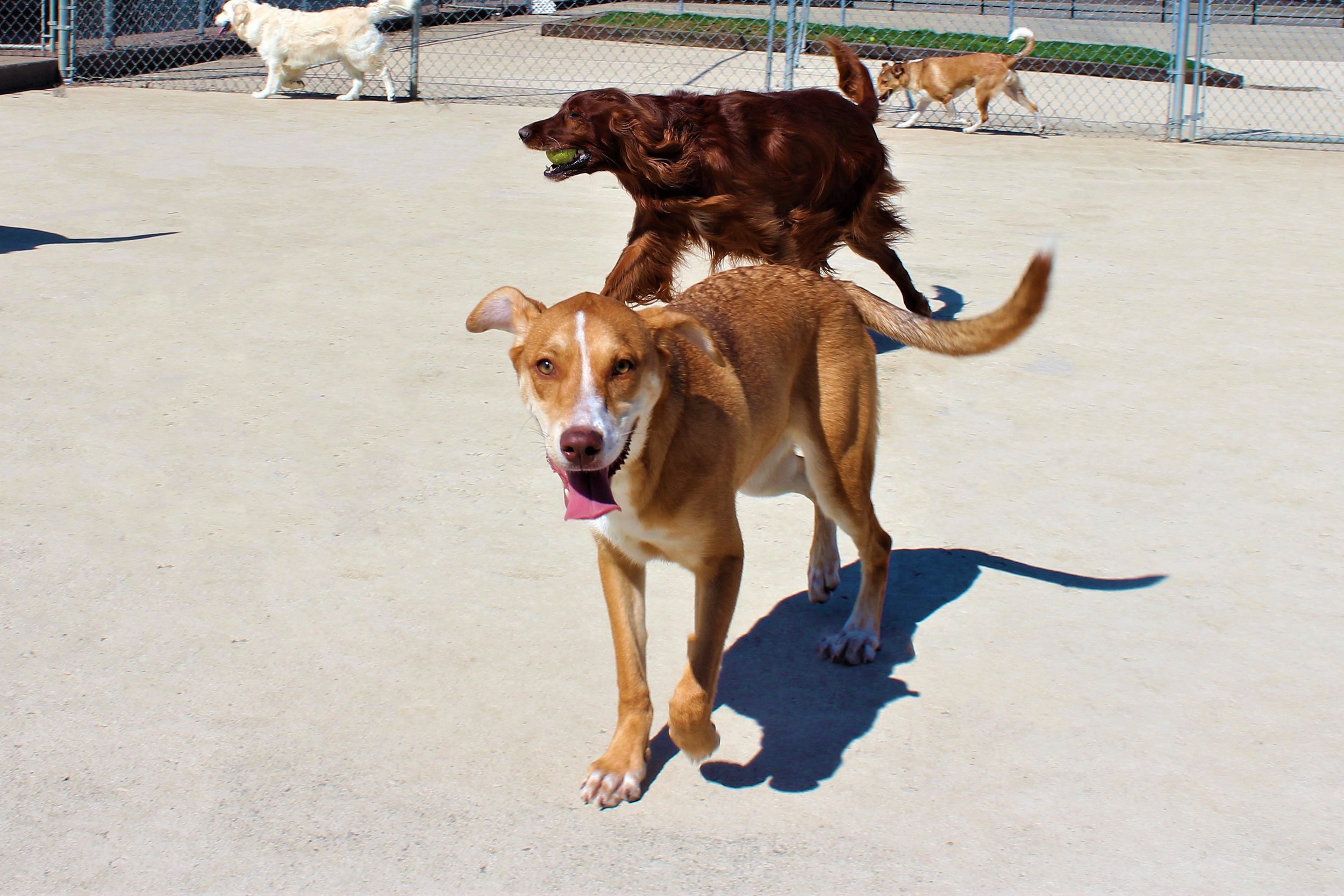 When Maddie is with her group she shines the brightest. All of her dog friends in daycare are as playful as she is. Her face says it all. This dog is happy to be with her friends.