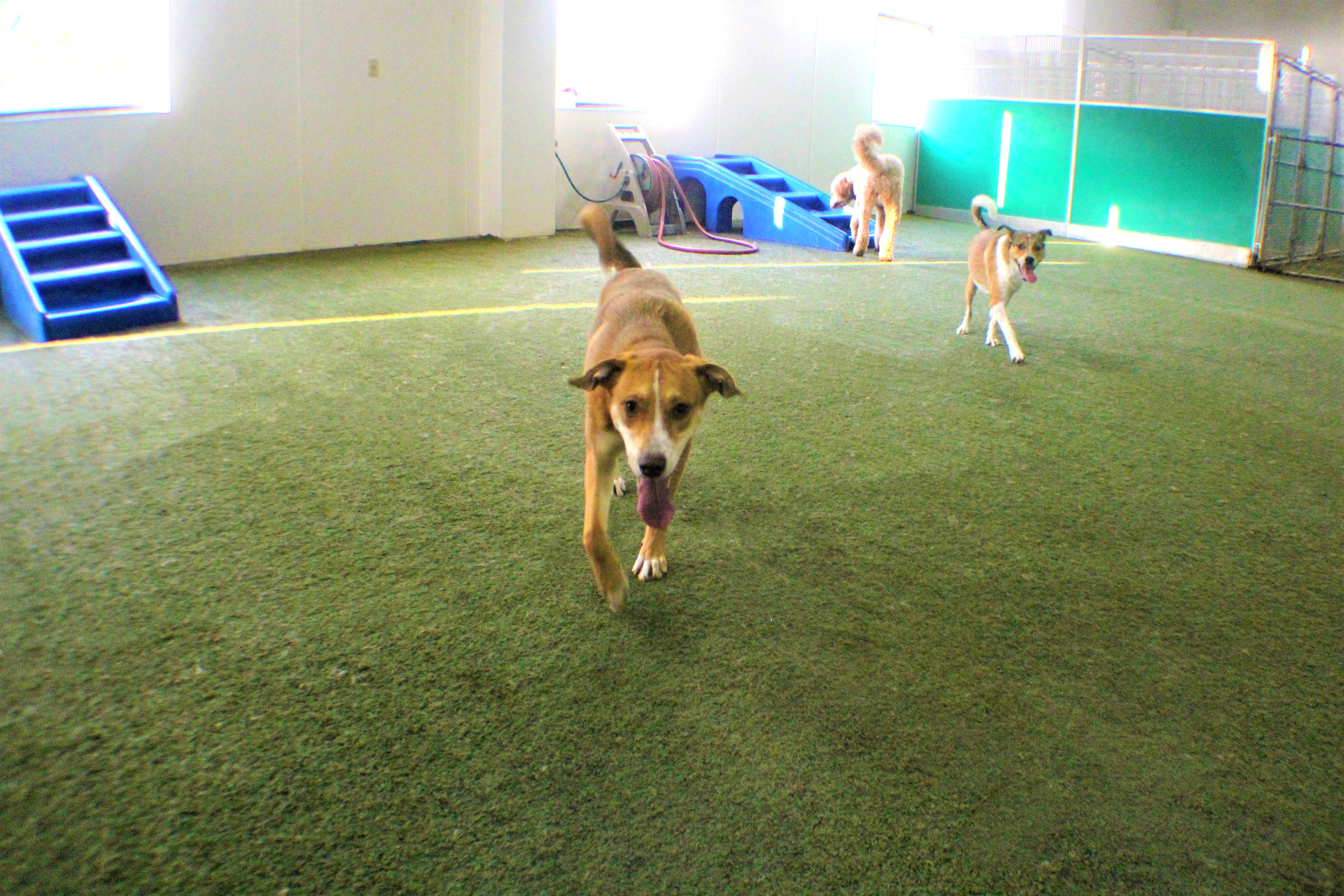 When Maddie comes to Pet Nation Lodge she always has friends to play with. She is a very social dog and gets along with almost every one of our daycare or boarding dogs. She's definitely the cool kid in school.