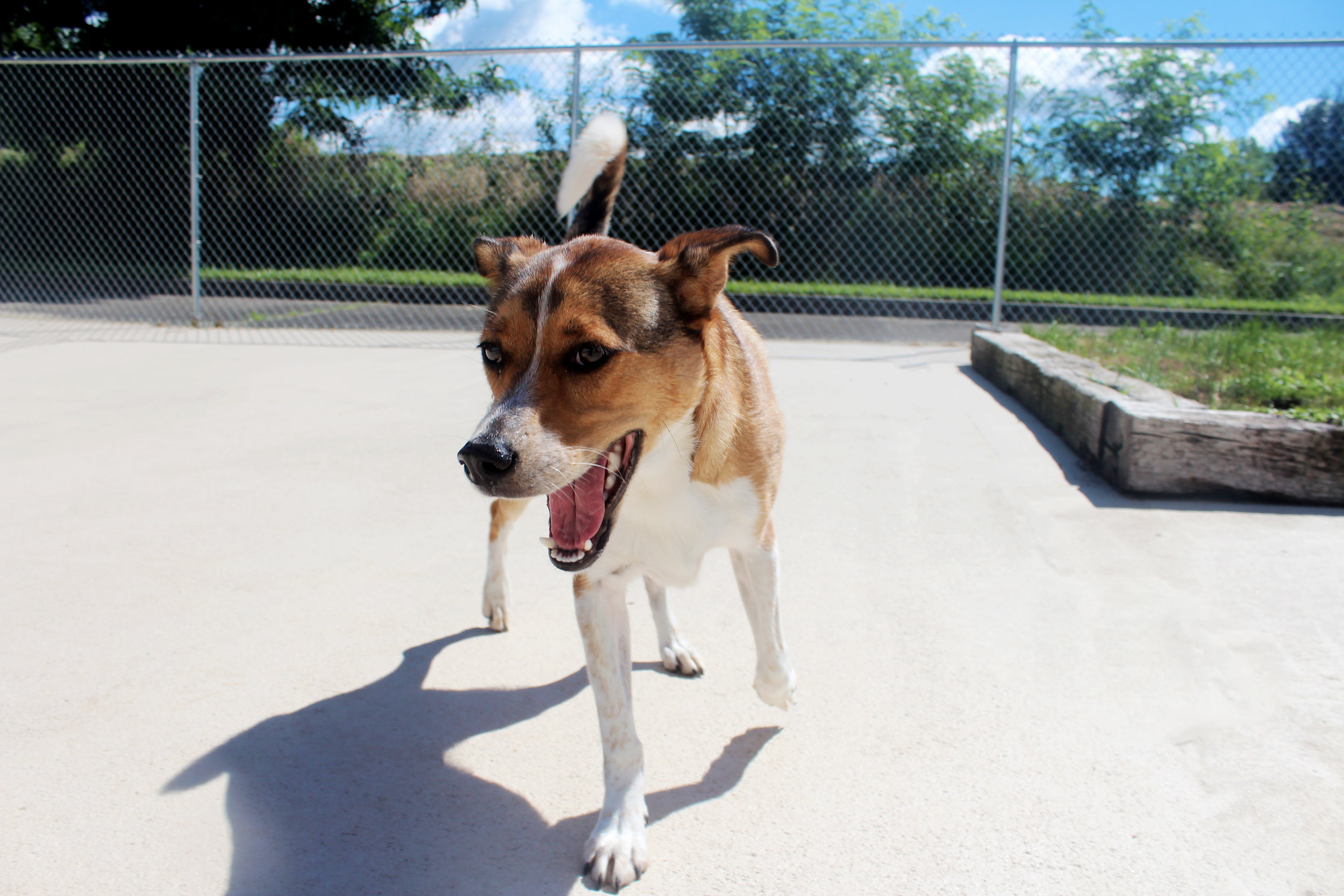 Just looking at Maple's face can give you a good understanding of the type of dog she is. Always happy running around with her daycare friends she is just a great dog to be around. Although she may be smaller than she looks she can hold her own against bigger dogs. That's why Maple is so special.