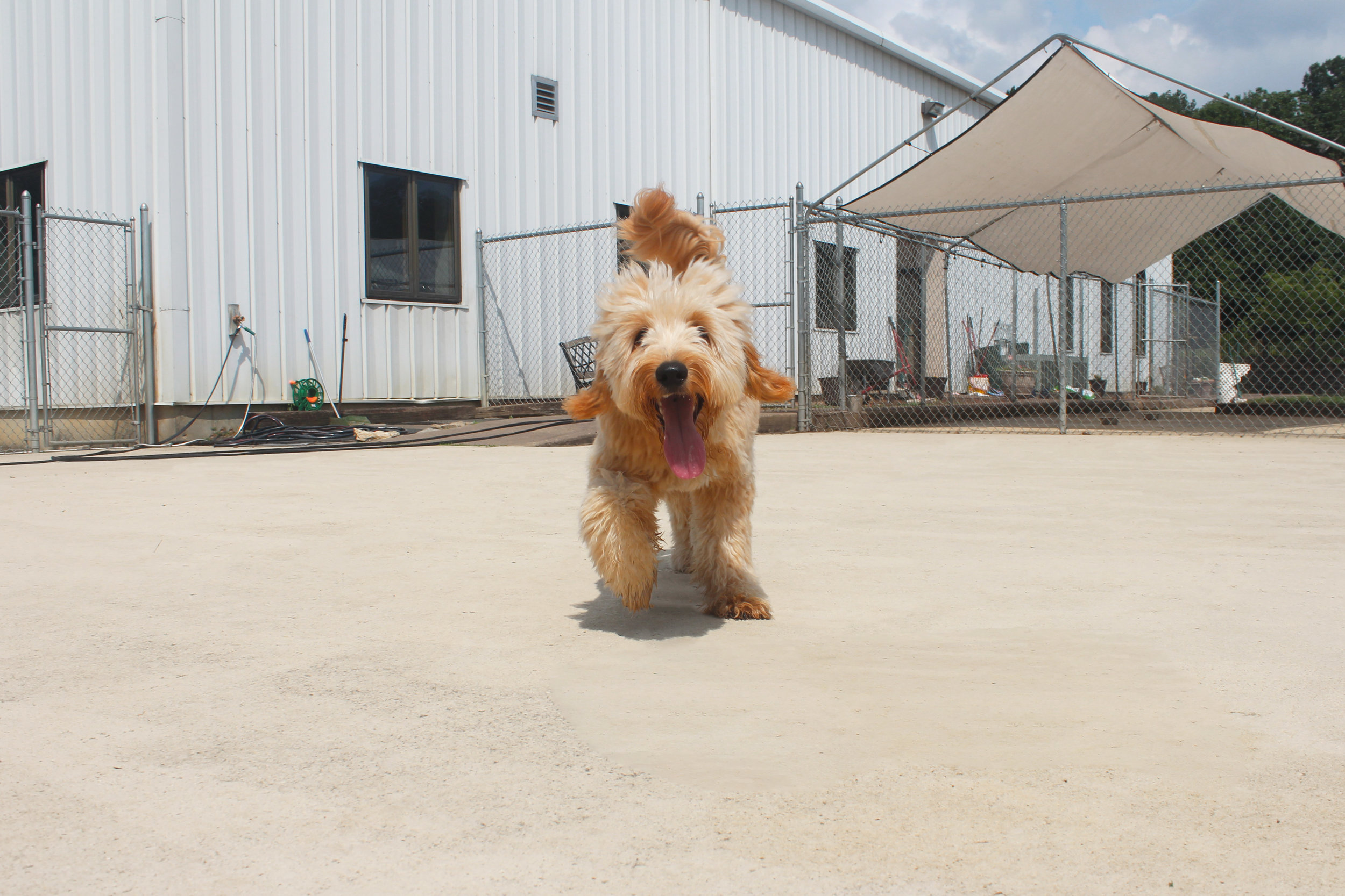 Tiger is just happy, plain and simple. When he steps through the door at Pet Nation Lodge for a day of daycare every single staff member is magnetically drawn to his pure joy! Wherever he goes sunshine follows.