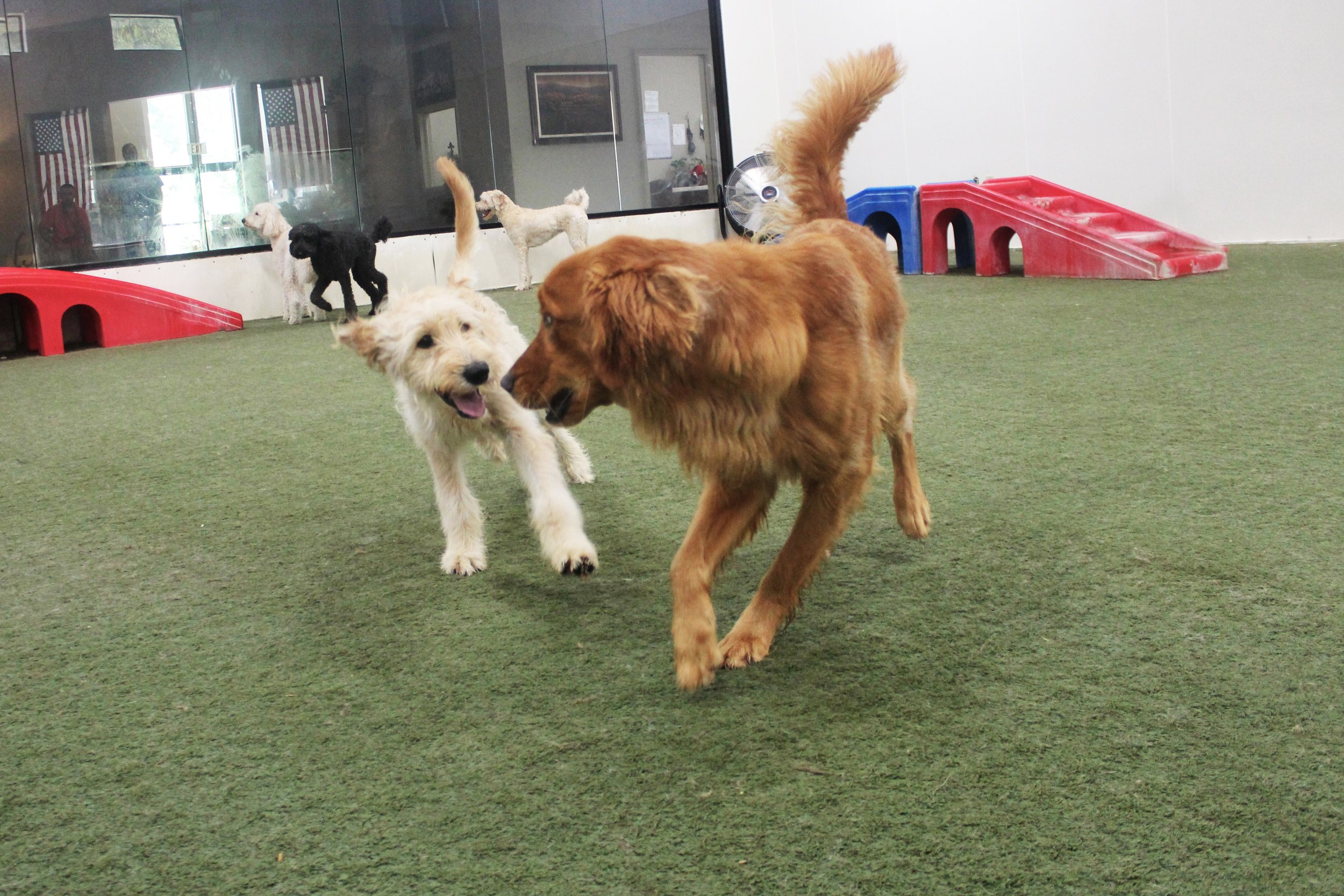 Charlie loves to motivate other dogs to play with him. When he's with a group of boarding dogs he'll go from dog to dog looking for someone that's as excited as he is. If he doesn't find said dog he'll usually just play with every dog out until they're either tired or he is.