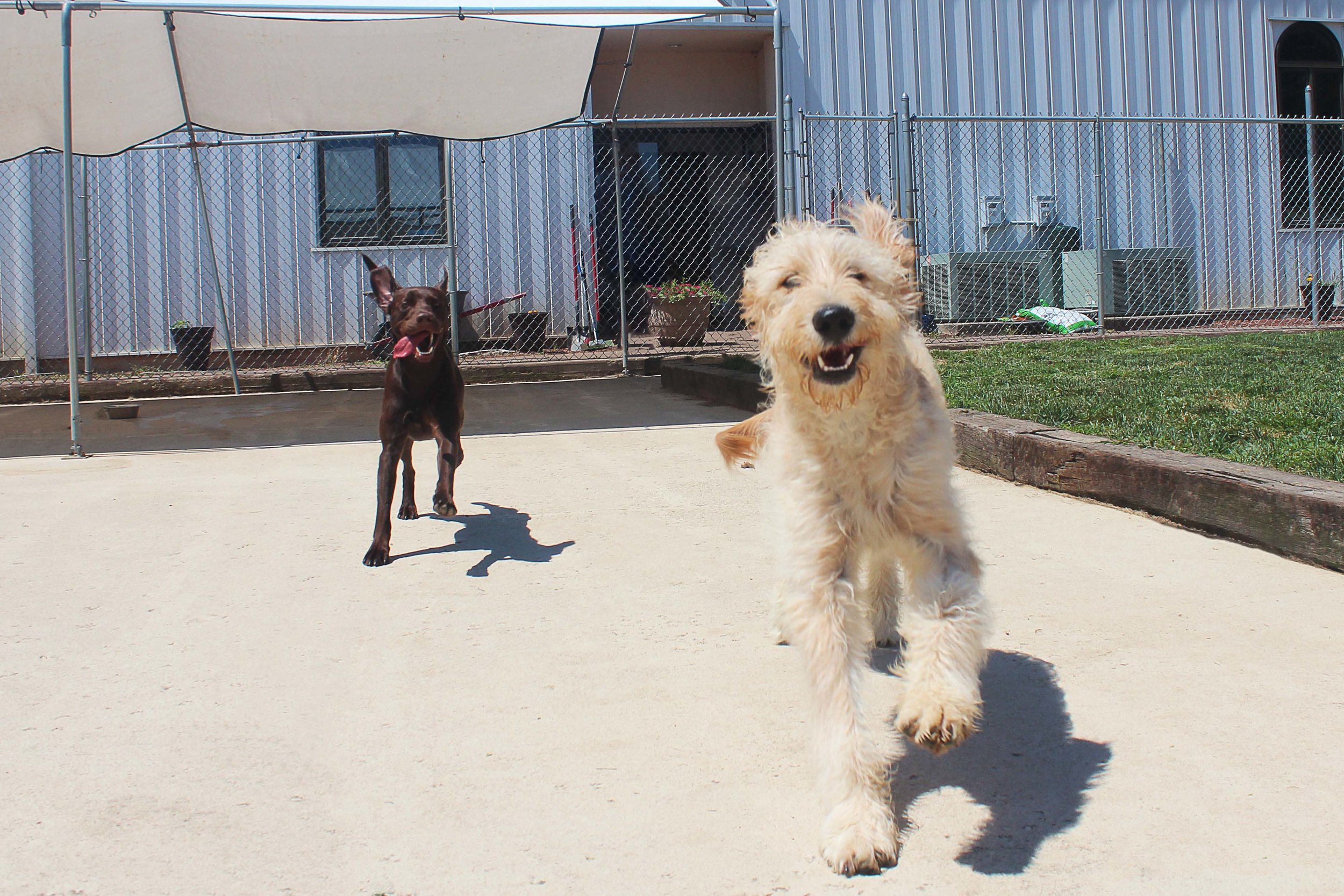 Not only is Charlie energetic and social he also has a good amount of goofiness that he shows on a regular basis. Whether he's running toward you, away from you, or in any direction in general, he always makes an effort to look like he's trying to make sure you know how happy he is.