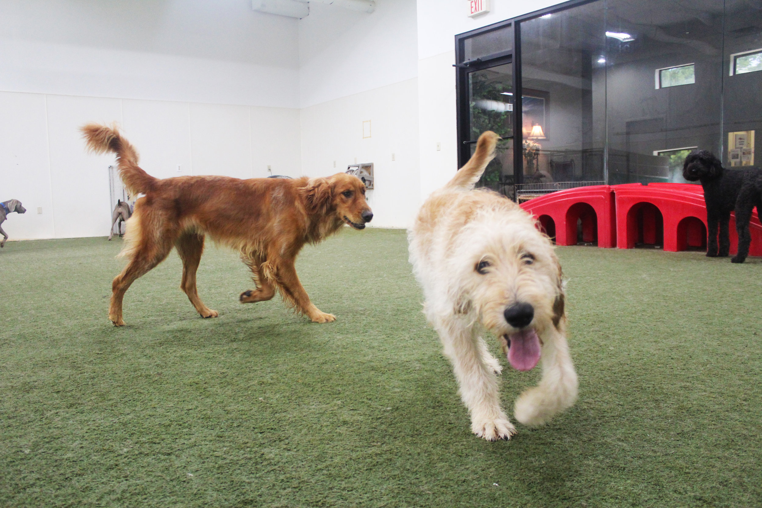 Charlie is a great dog to have come for doggy daycare and dog boarding. All of our staff love him and, since Charlie loves everyone, he loves us too. We just wish he could come in everyday to brighten our spirits and put us all in a great mood.