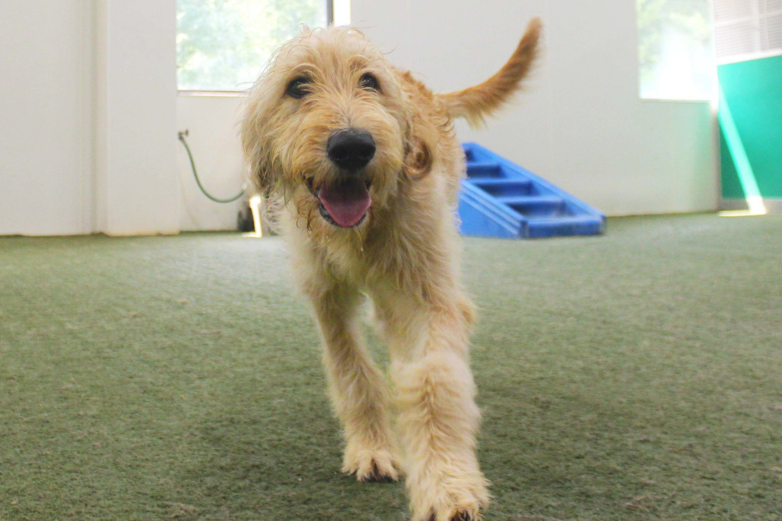 Charlie is a truly wonderful dog. Playful with any other dog, whether it be daycare or boarding, he's just happy to be have friends to play with. We're always happy when he's around.