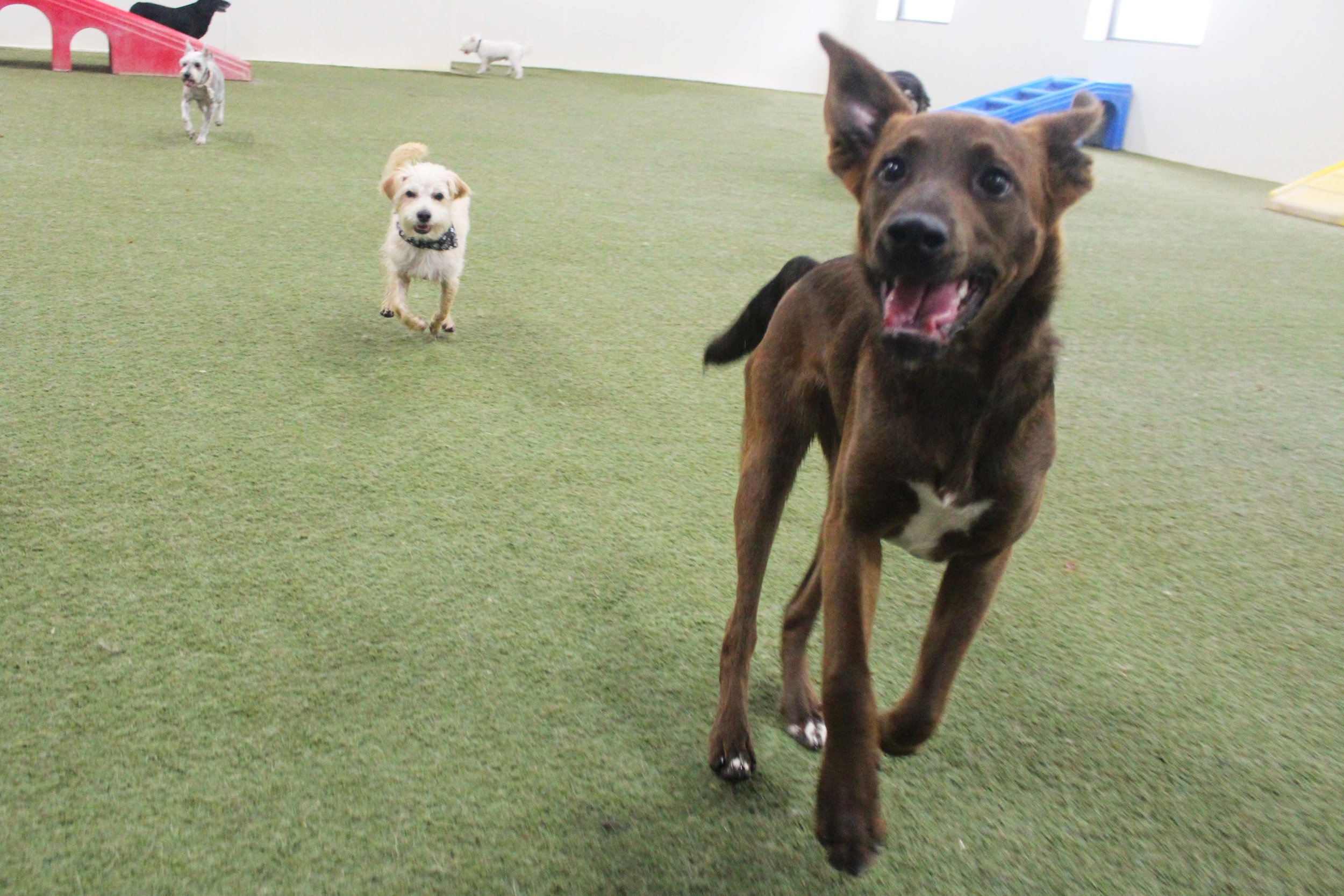 Meeka is the kind of dog that gets along with every dog, large or small.  She plays great in daycare and is a pleasure to have when she's boarding.  Meeka is a fun-loving doggo.