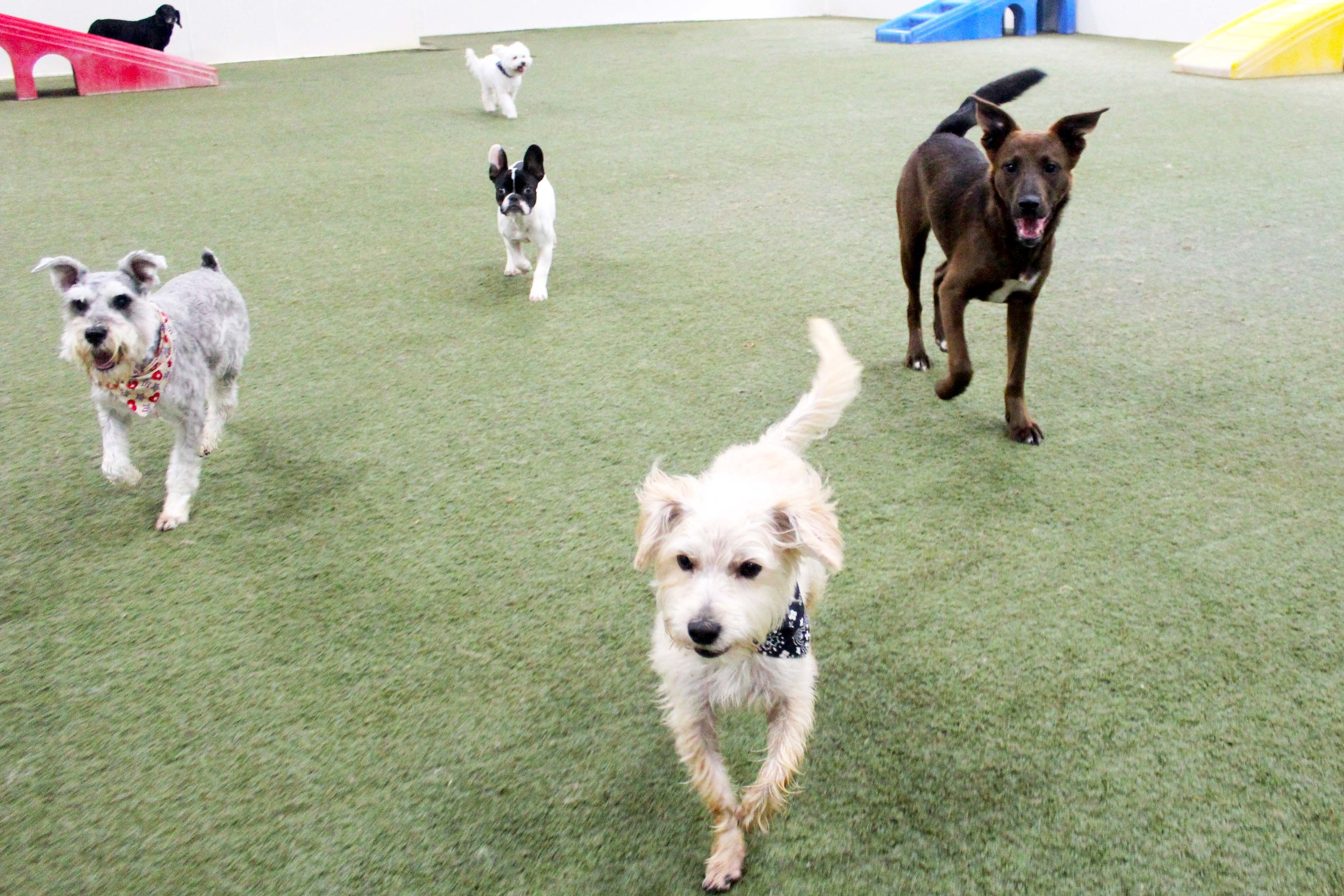 Although Meeka may be a little bigger than some of the dogs who come in for daycare or boarding she's still as gentle and caring as you'd think she was.  She's always willing to let another dog steal the spotlight even if the camera is always pointing her way.