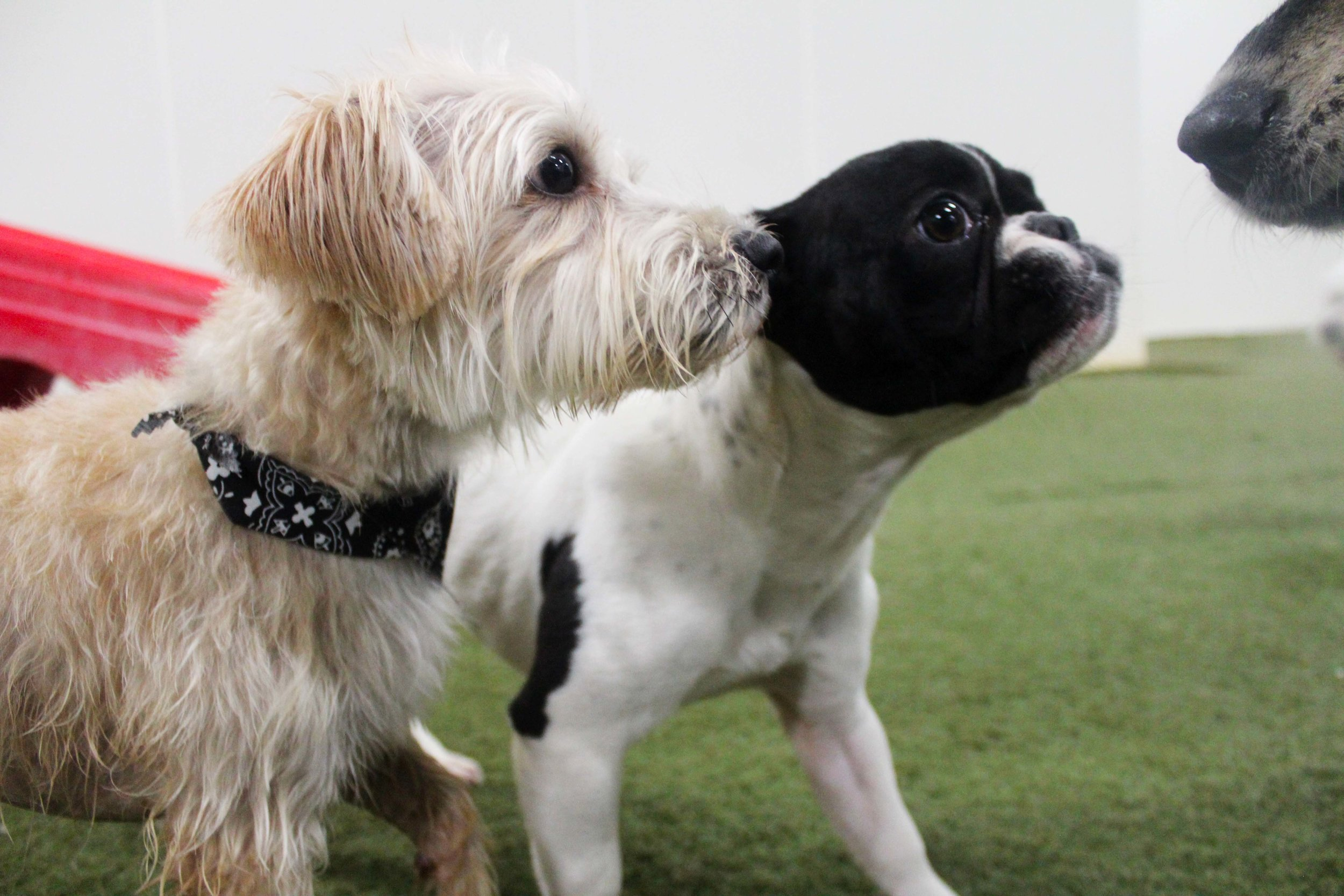When Coco comes in for Dog Daycare at Pet Nation Lodge there are always friends waiting to see her come in and play. Maybe not always the group leader. but she's definitely the one that holds the group together.