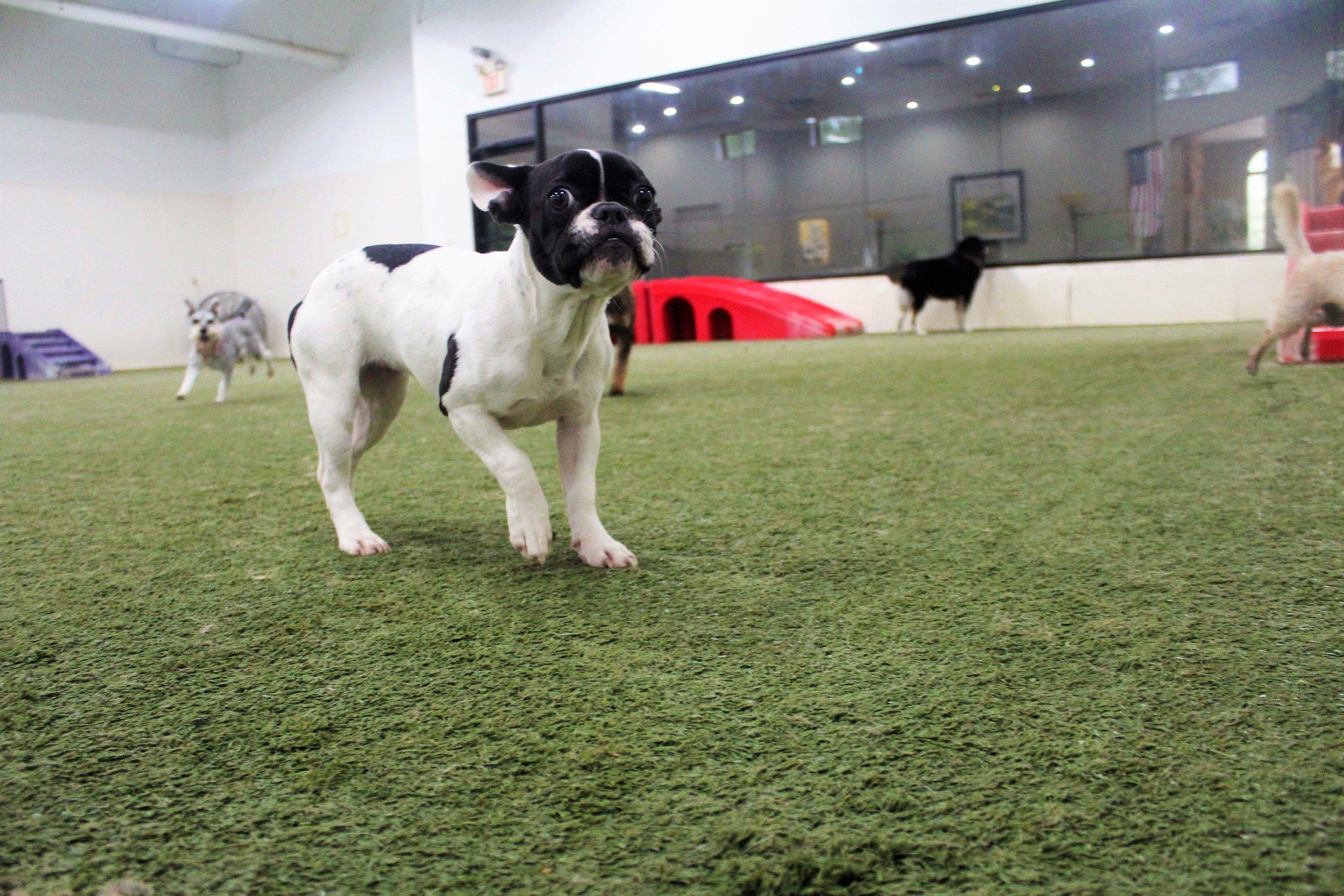 Pet Nation Lodge Daycare Dog Coco 4