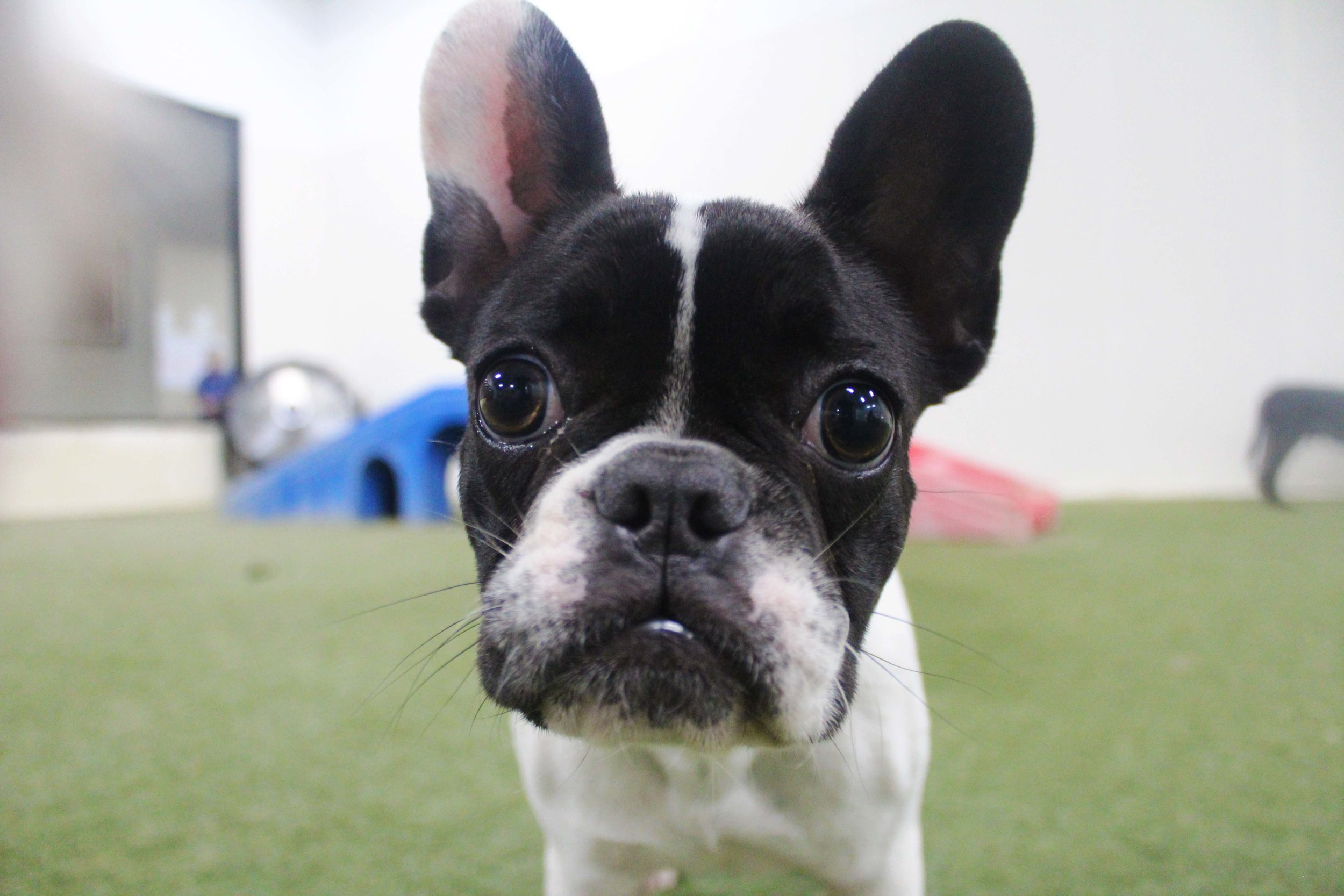 Coco may be small but she's definitely big in heart. A dog that gets along with almost everyone, human and dog alike, Coco is a favorite here at Pet Nation Lodge. Dog Daycare is so much better with Coco around!