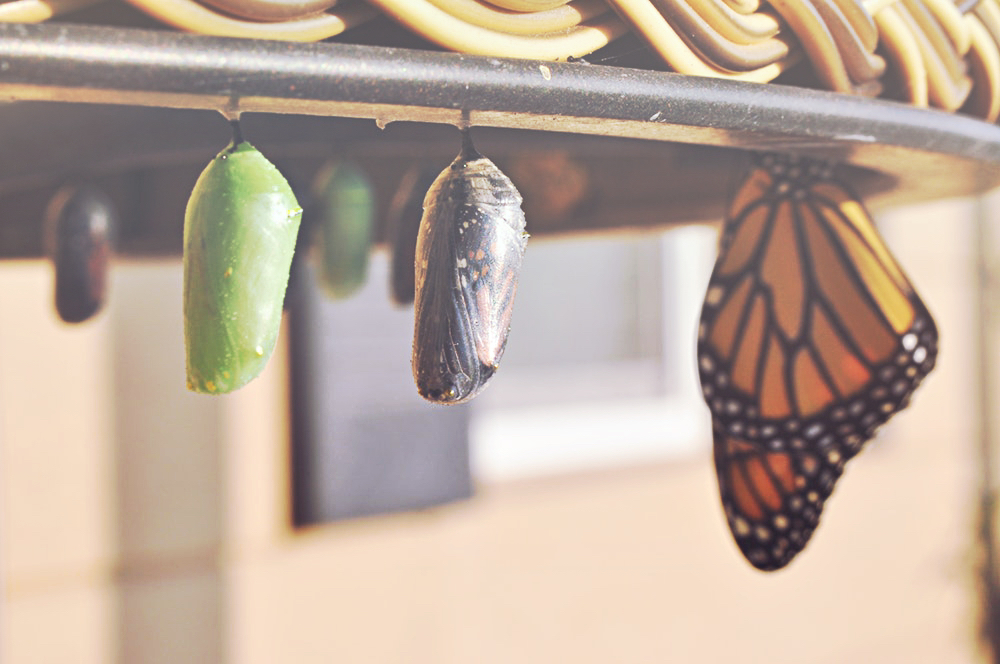 monarch butterfly chyrsalis.jpg
