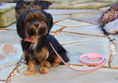 Bella - I have attached the photos of Bella wearing your products below. Thank you so much for allowing me the opportunity to try out your products and let Bella model them! Not only are the collar, leash, and bow tie pink, sparkly, and cute, but they're also amazing quality! The customer service I received was outstanding! I am very satisfied with the products I received and will be recommending Miss Teddy to all of my friends and family!