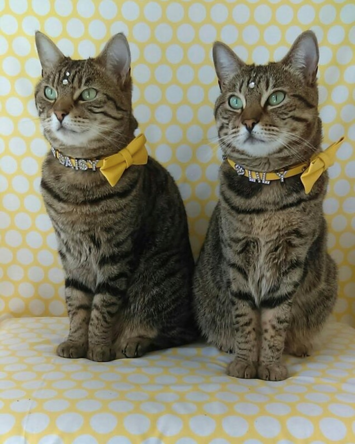 Daisy & Lily - These collars are superb, they fit Daisy and Lily beautifully and the range of colours means there's something to suit every cat! I can't wait until you bring out more in the cat range :-)