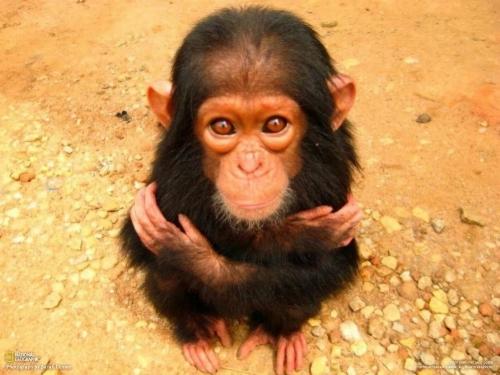 sad-chimp.jpg
