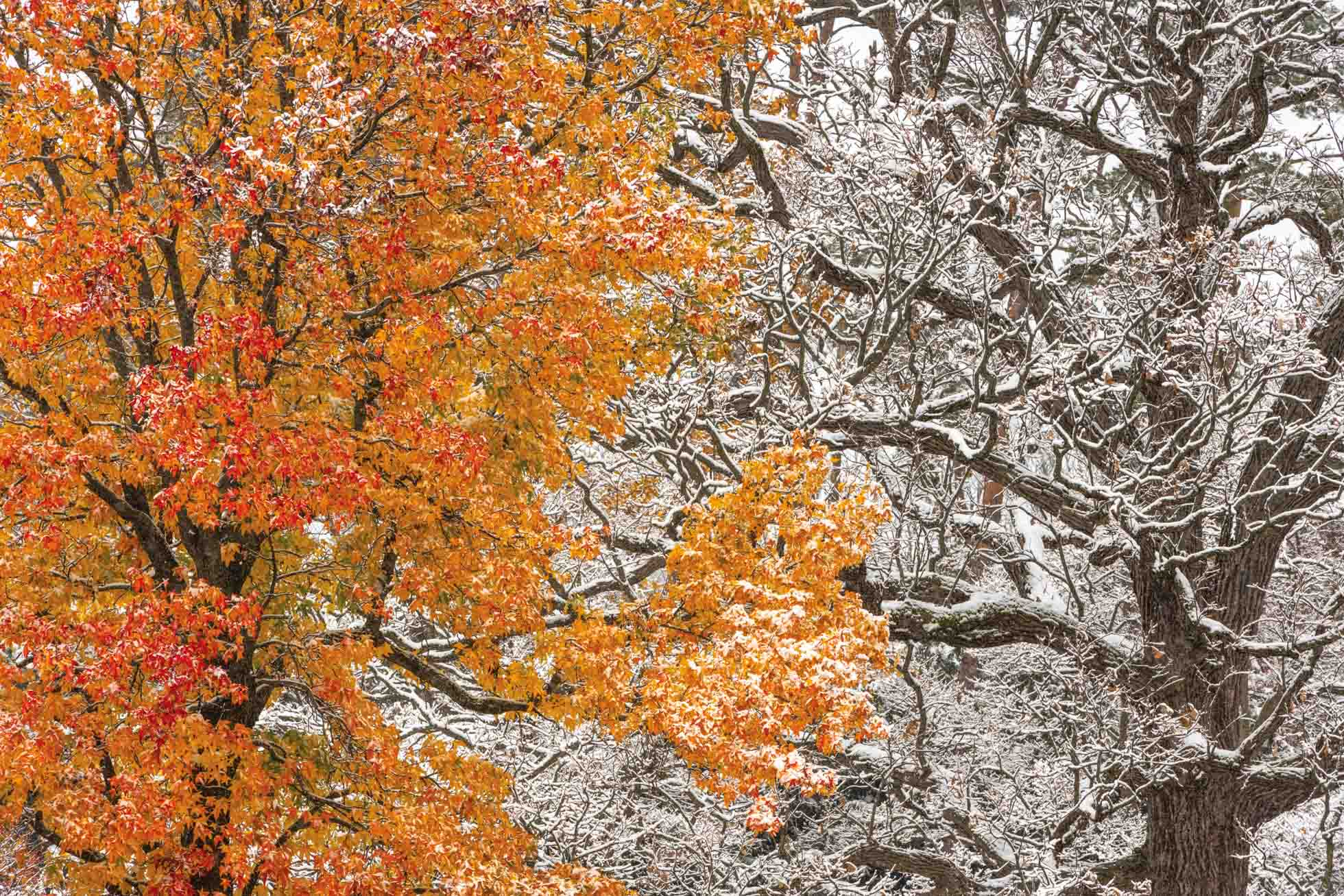 200mm  The week after Halloween, we got our first big snow. It just so happened I had just been out to the Arboretum the prior week photographing peak fall color. So after the snowfall, I drove through and spotted this incredible scene of seasons colliding. 200mm with my 70-200mm lens allowed me to highlight the detail of these two trees next to each other by filling the frame with the contrast of fall color and snowy branches.