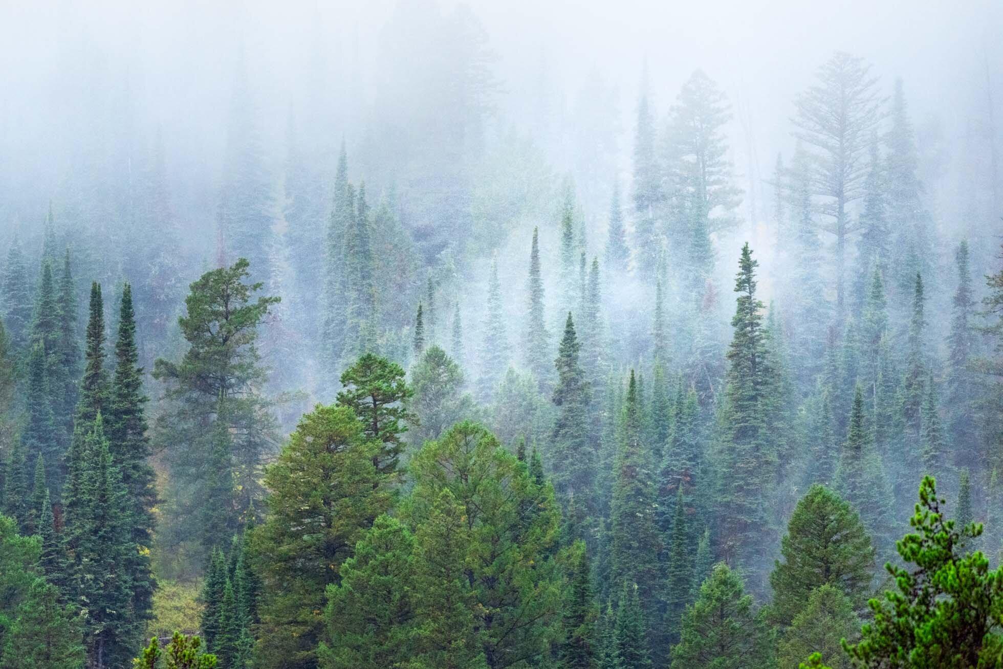 Trees & Fog-001.jpg