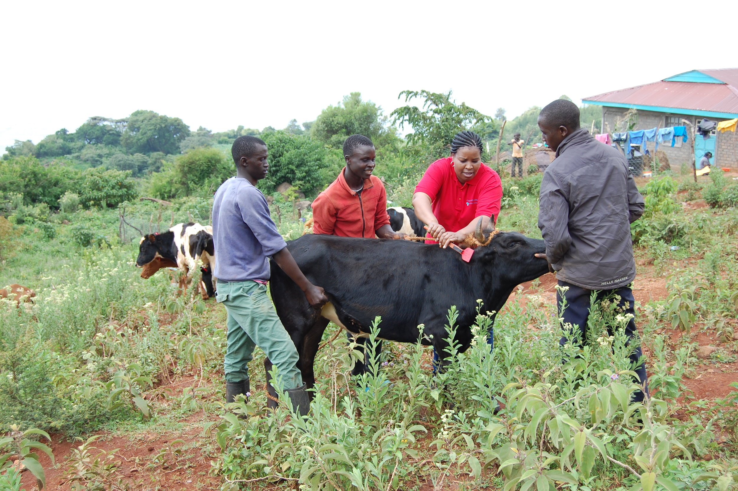 Dr. Benadette Tiony tags 1 of the 14 Cross World Africa cows being donated in the valley.