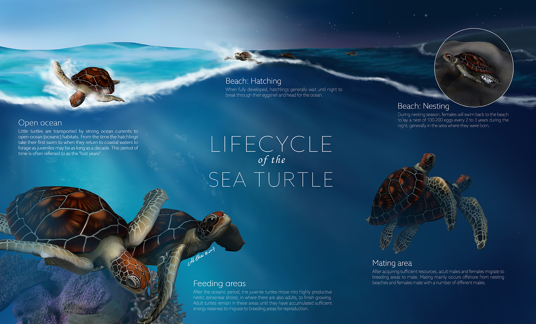 Lifecycle Of The Sea Turtle Manjun Chai Biomedical Illustration