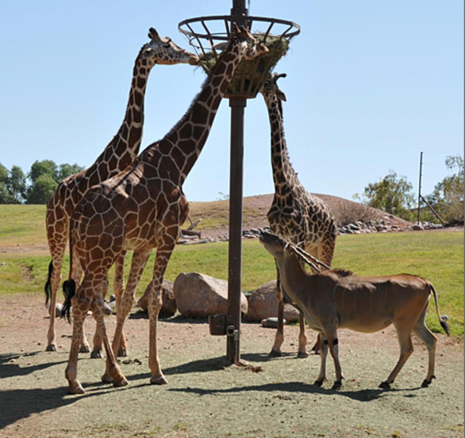 Hello Giraffes! Who doesn't love giraffes?