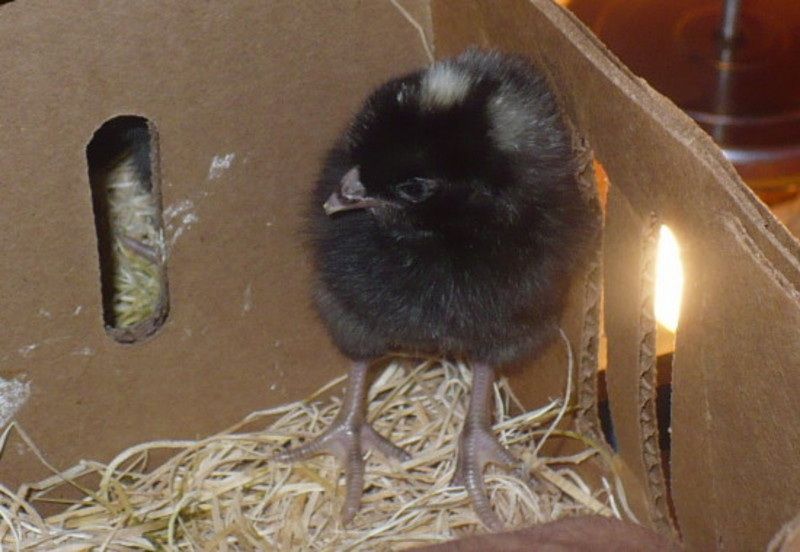 chick-1-crop.jpg
