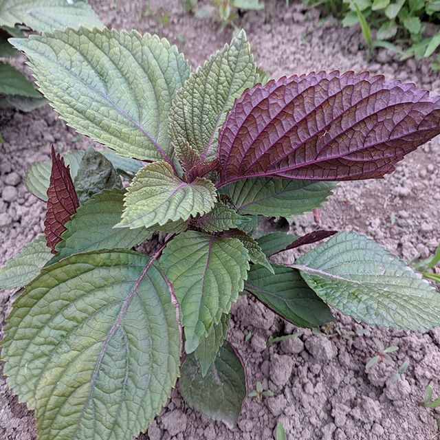 Love seeing this beautiful plant grow. Shiso has become our new favorite with its intriguing flavor and versatility in the kitchen. We have had customers use it to make pesto, roll it in sushi, and add it to pickled veggies and fruit. Our favorite (suggested by @uprising.seeds) is to make a refreshing sun tea for hot summer days.  #smallfarm #whatcomcounty #bhamfoodie #seattleeats