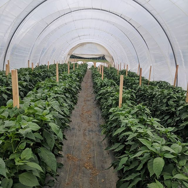 The pepper tunnel is looking hot!  #valueadded #localfood #whatcomcounty #peppers