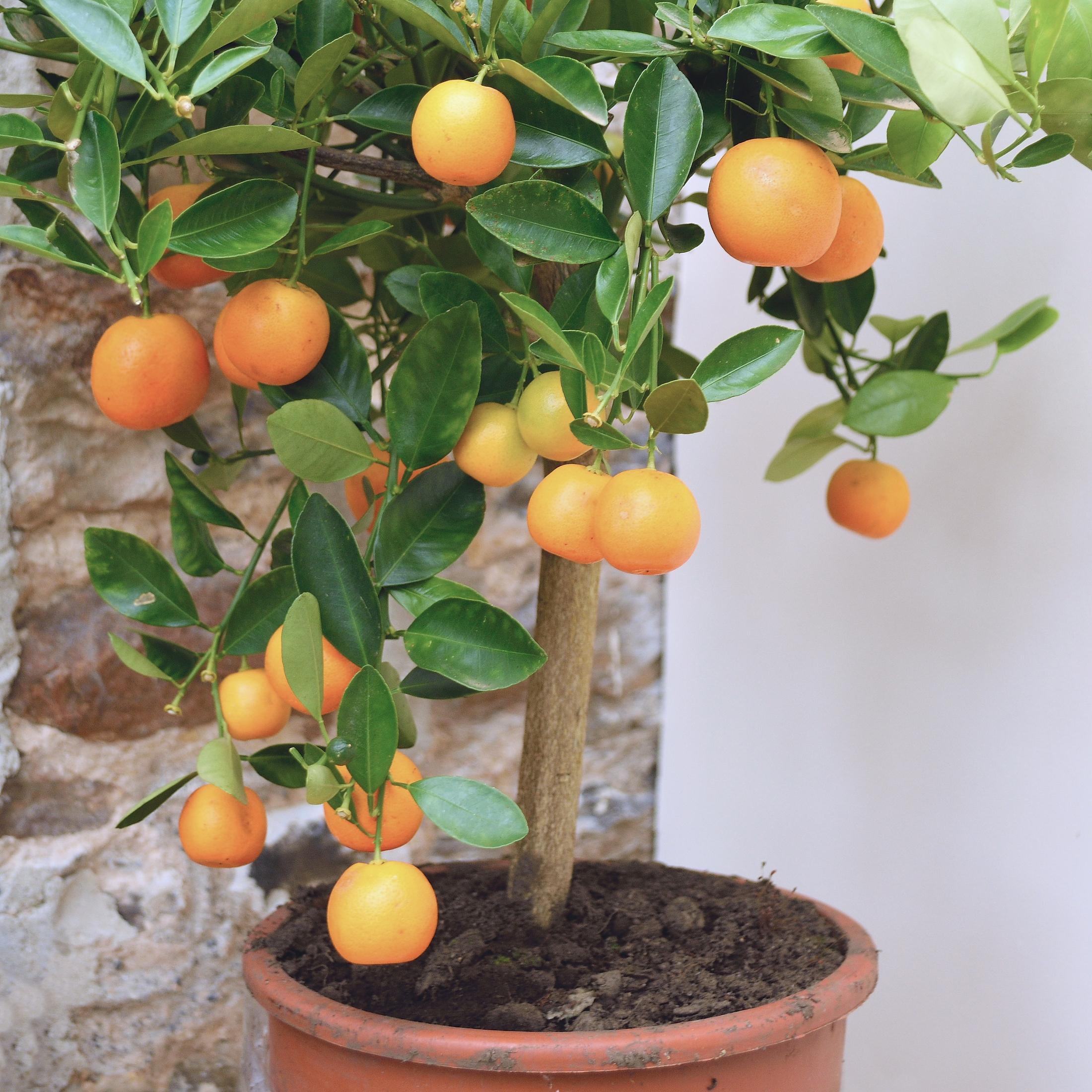 peach-tree.jpg