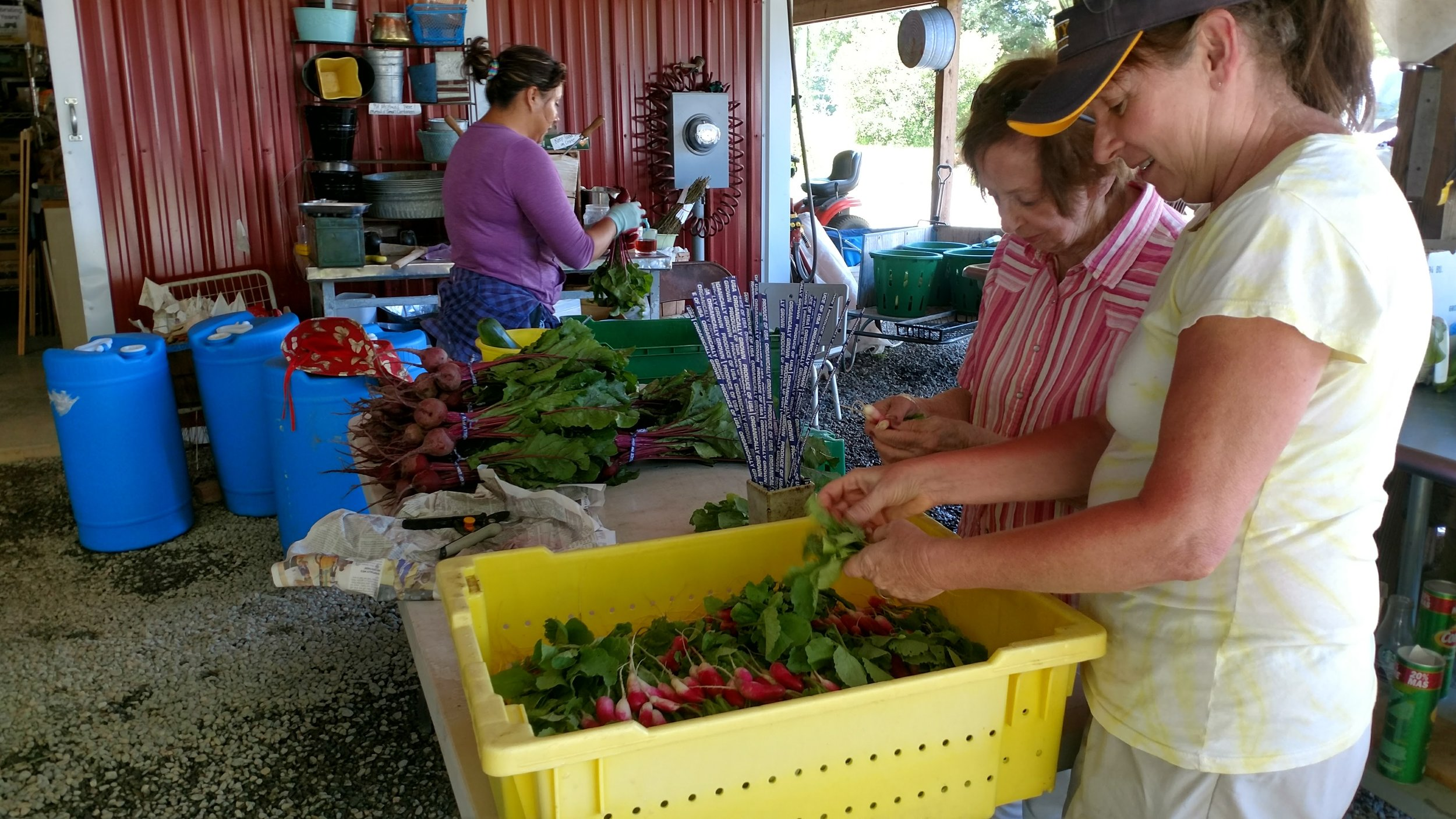 Karen, Mary and Lucy bunching up radishes for market