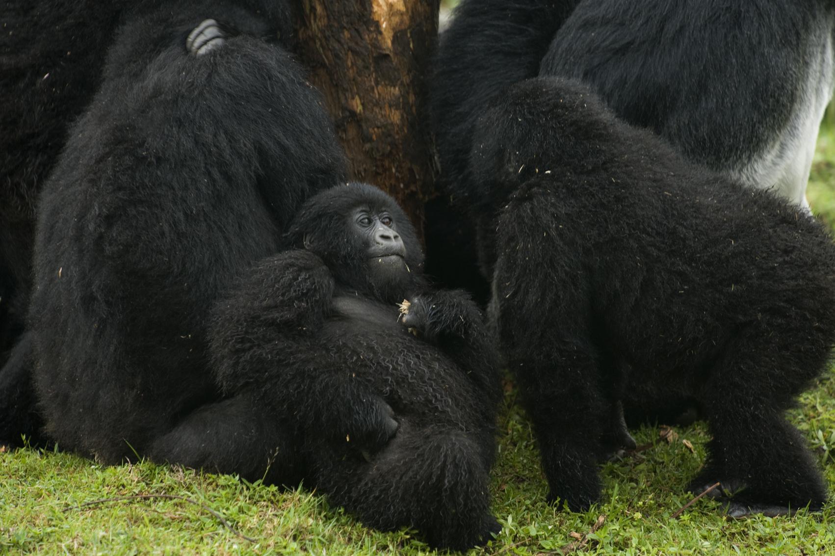 Virunga, Ruanda. 2008