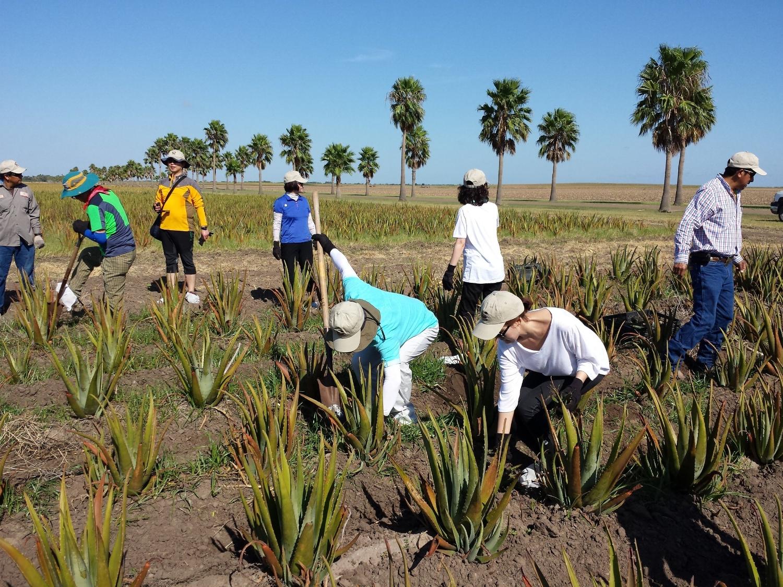 Aloe Field Maintenance