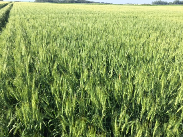 Durum crop treated with Crop Aid Seed, Crop Aid Soil and Crop Aid Foliar