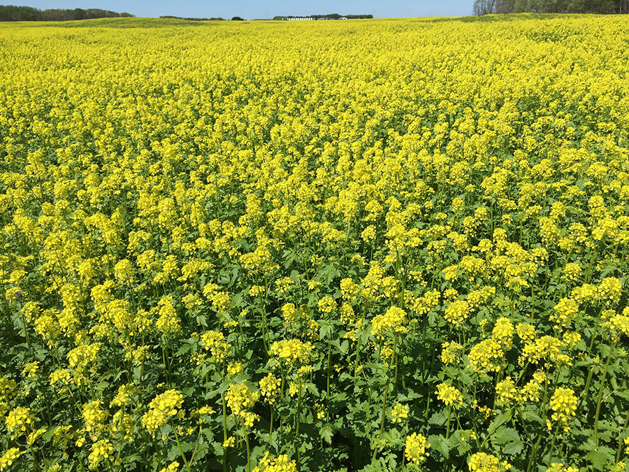 Canola crop treated with Crop Aid Soil and Crop Aid Foliar