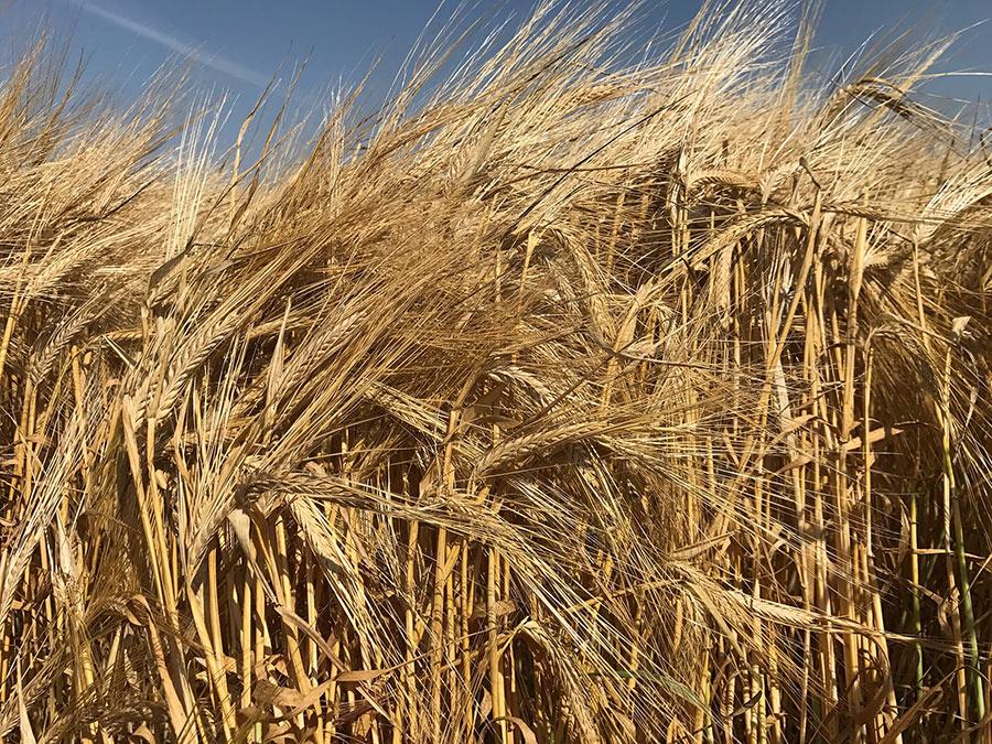 Barley crop treated with Crop Aid Seed, Crop Aid Soil and Crop Aid Foliar