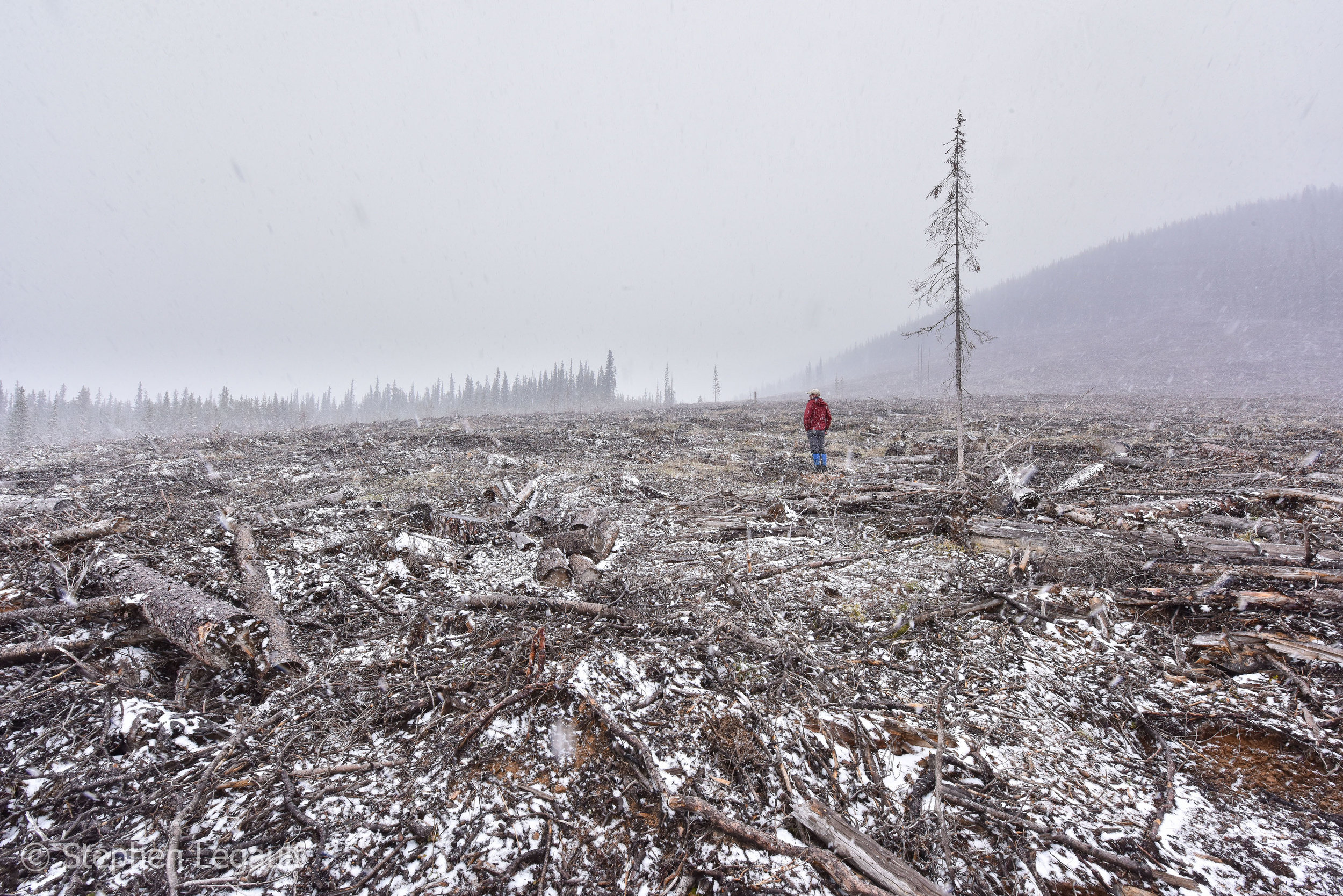 Recent logging below the Plateau Mountain Ecological Reserve in the Cataract Creek area of the Highwood River drainage.