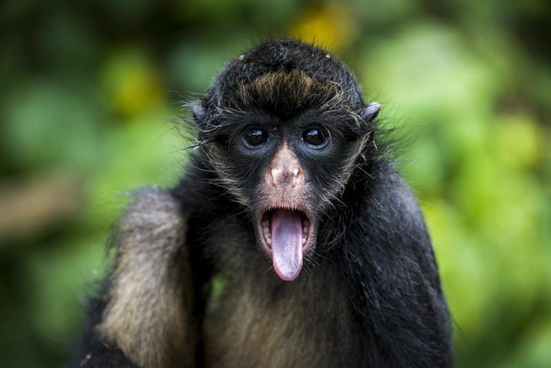 A Spider monkey.