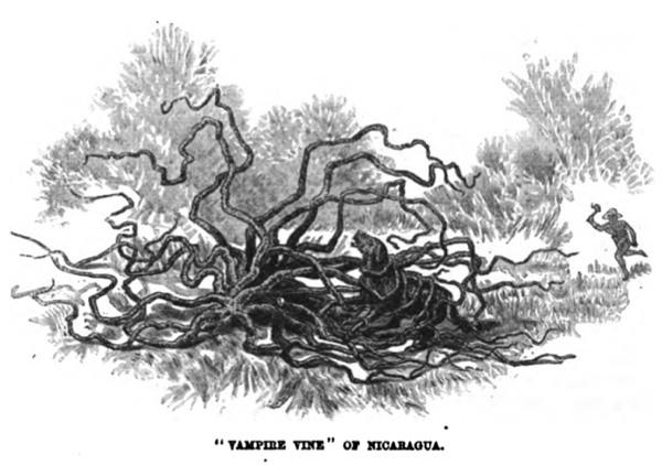 1874vampirevine.jpg
