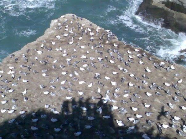 GANET COLONY   MURIWAI BEACH