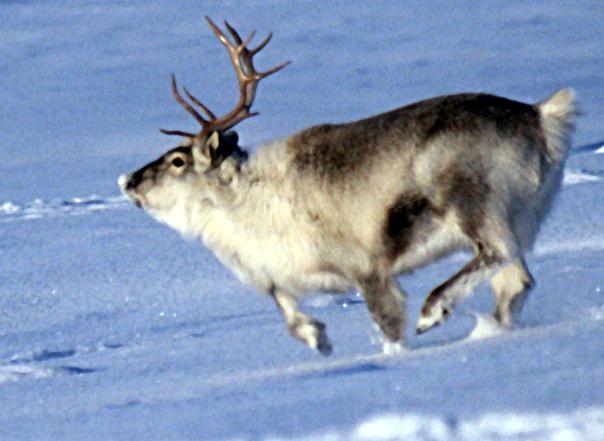 Spitsbergen_reindeer01.jpg
