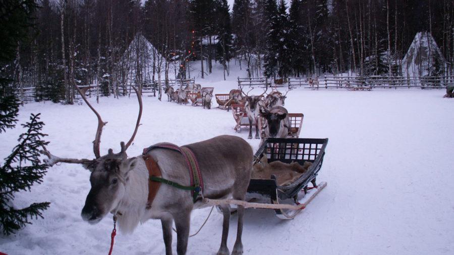 Konttaniemi-reindeer-farm-reindeer-safari-900x505.jpg