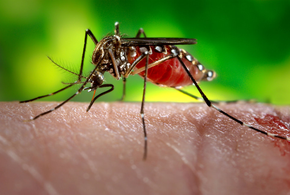 16739-close-up-of-a-mosquito-feeding-on-blood-pv.jpg