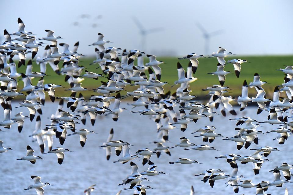 migratory avocet-1773758_960_720.jpg