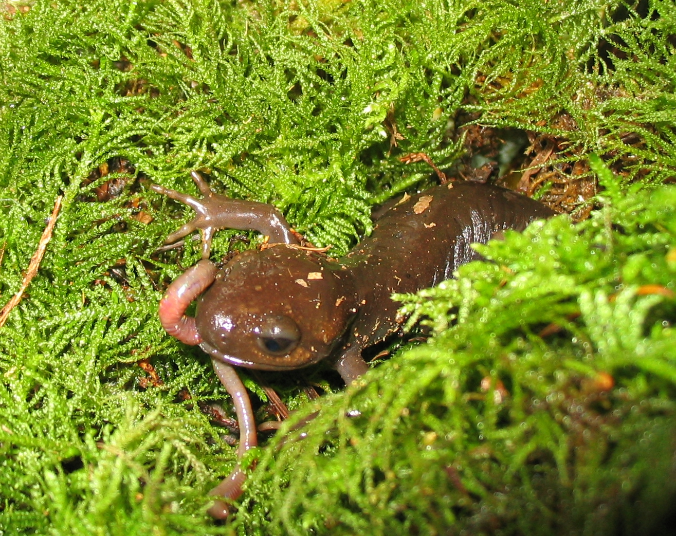 Insect Pacific_brown_salamander_eating_a_worm.jpg